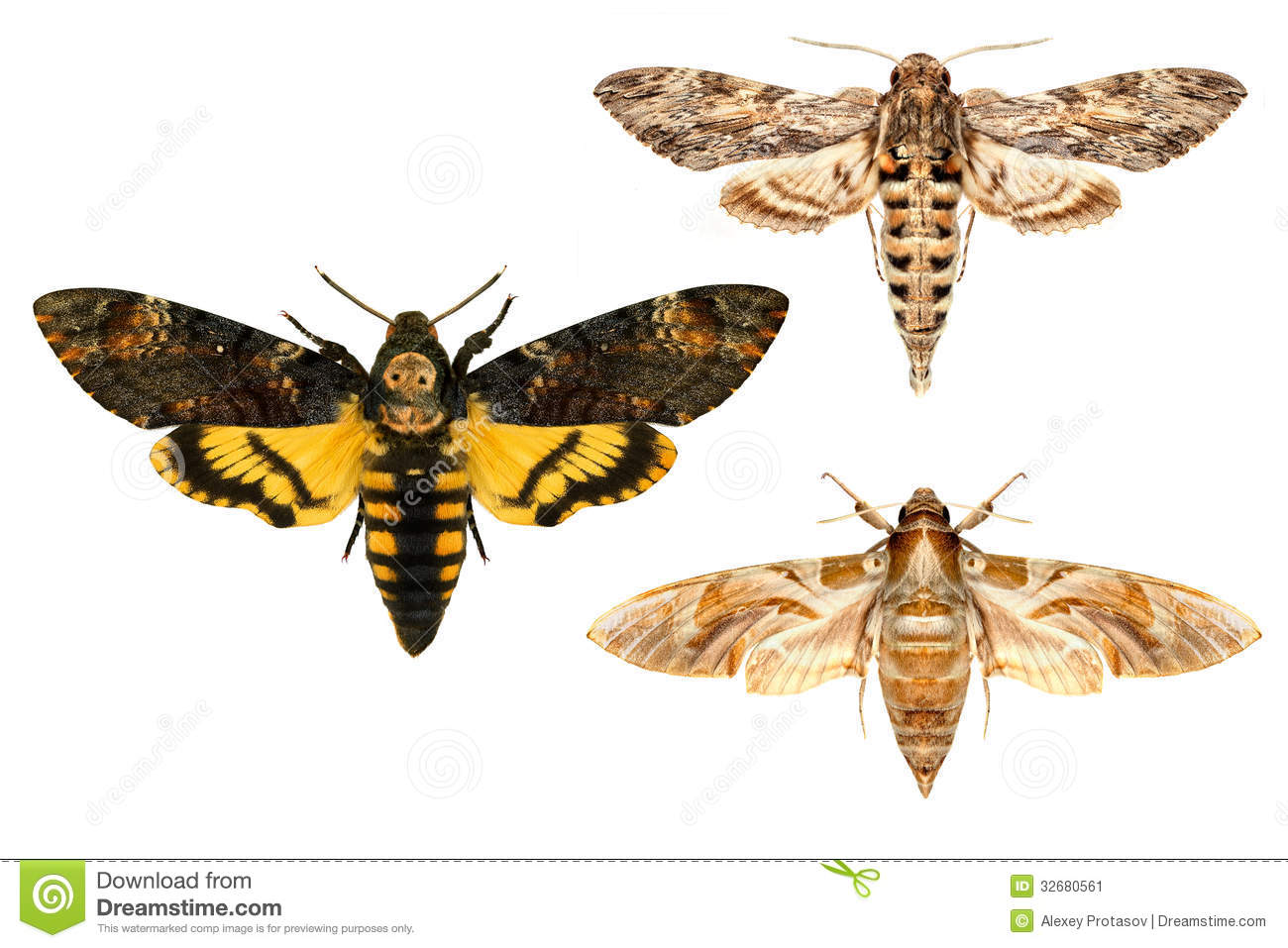 moths stock image image 32680561 sphinx clipart free sphinx clipart images