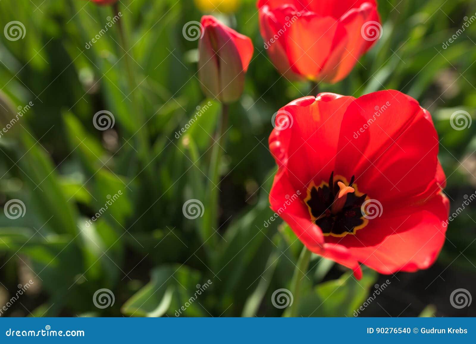 Motif de ressort avec les tulipes rouges