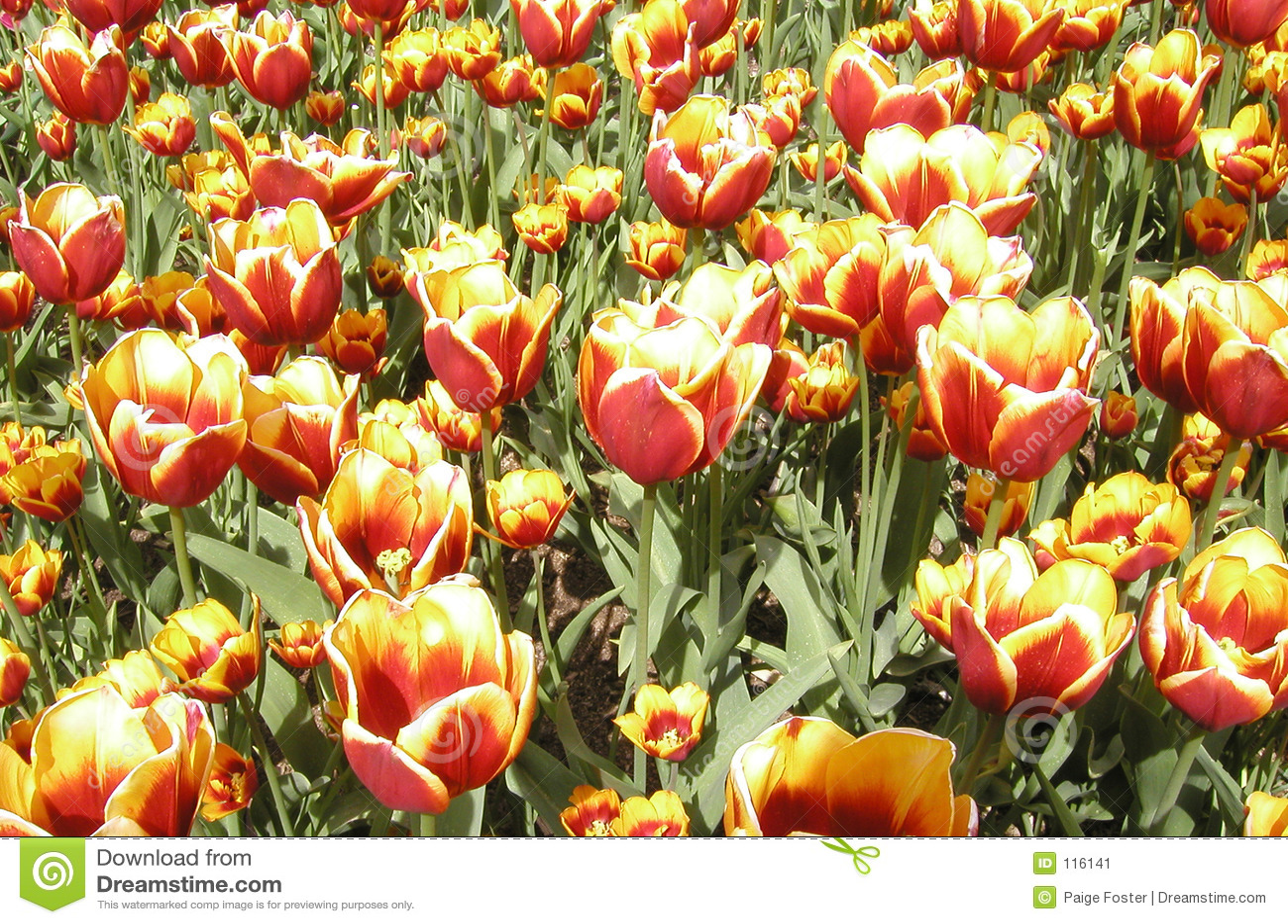 Motim dos Tulips