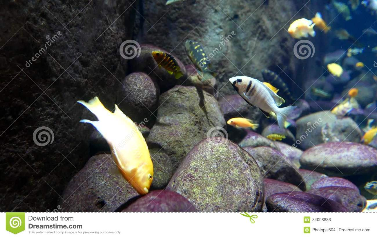 Freshwater aquarium fish vancouver - Motion Of Beautiful Tropical Fish With Blue Ocean Water Stock Footage Video 84098886
