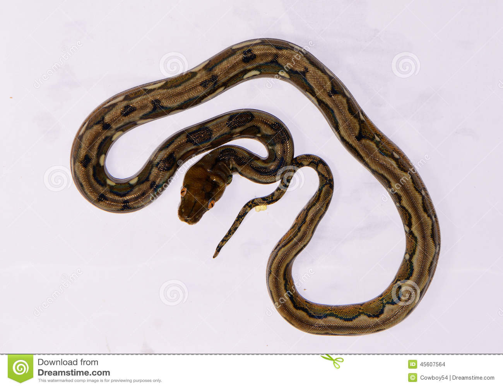 Baby Reticulated Python Reticulated python (python