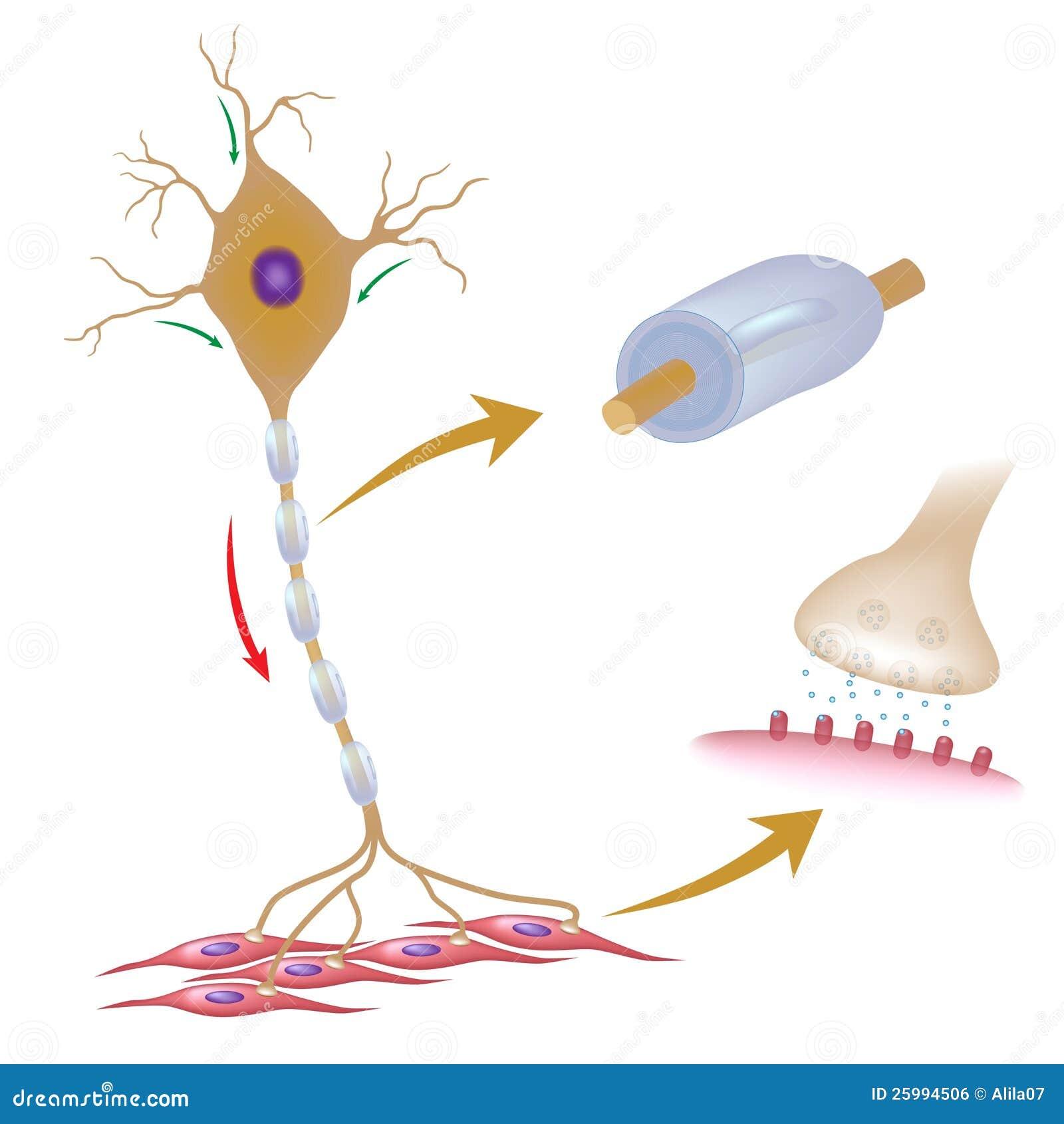 Nervous System Lab Diagram   Free Download Wiring Diagram Schematic