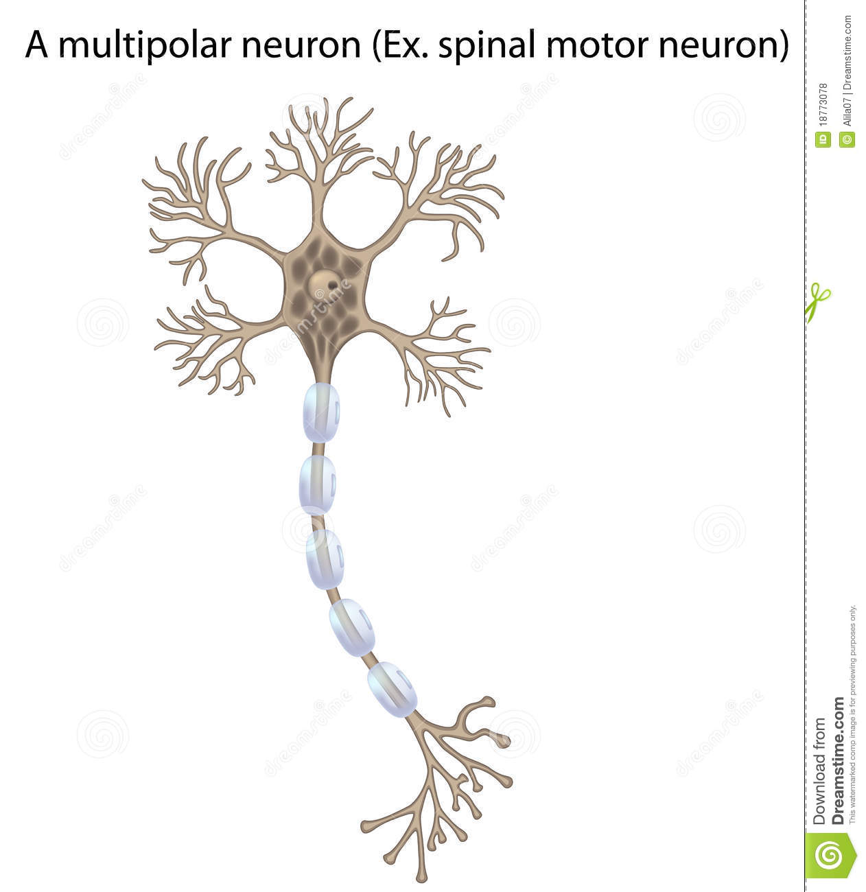 More similar stock images of ` Motor neuron, detail and accurate,non ...