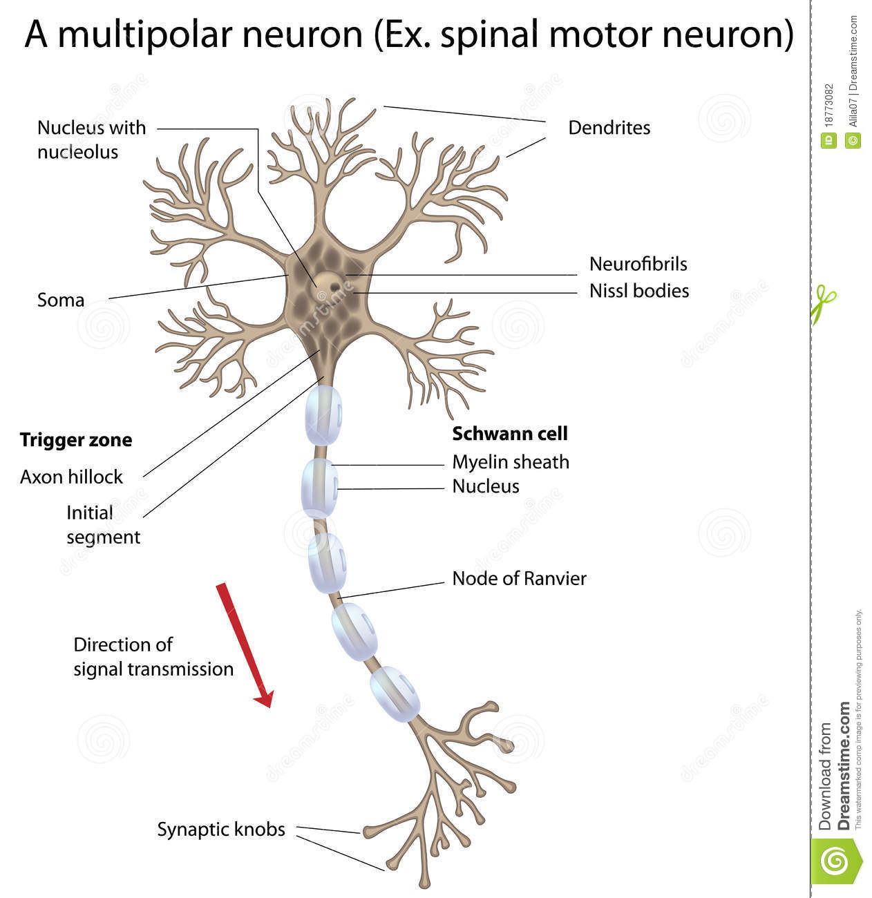 Motor neuron detailed and accurate labeled vers stock for What is a motor neuron