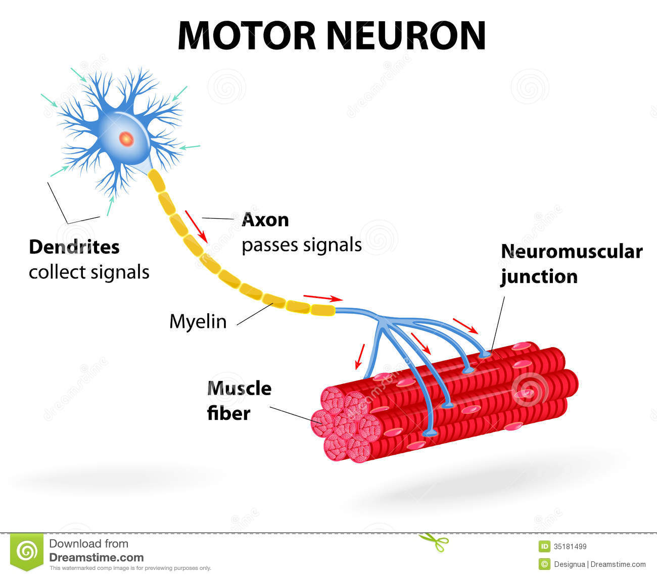 Motor Neuron Vector Diagram Royalty Free Stock Images
