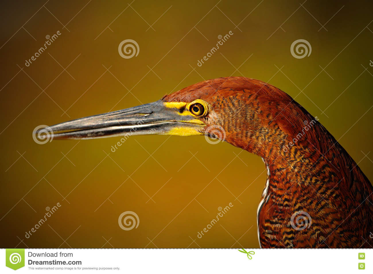 Motteled Rufescent Tiger-Heron, Tigrisoma lineatum, detail portrait of bird with long bill, in the nature habitat, Pantanal