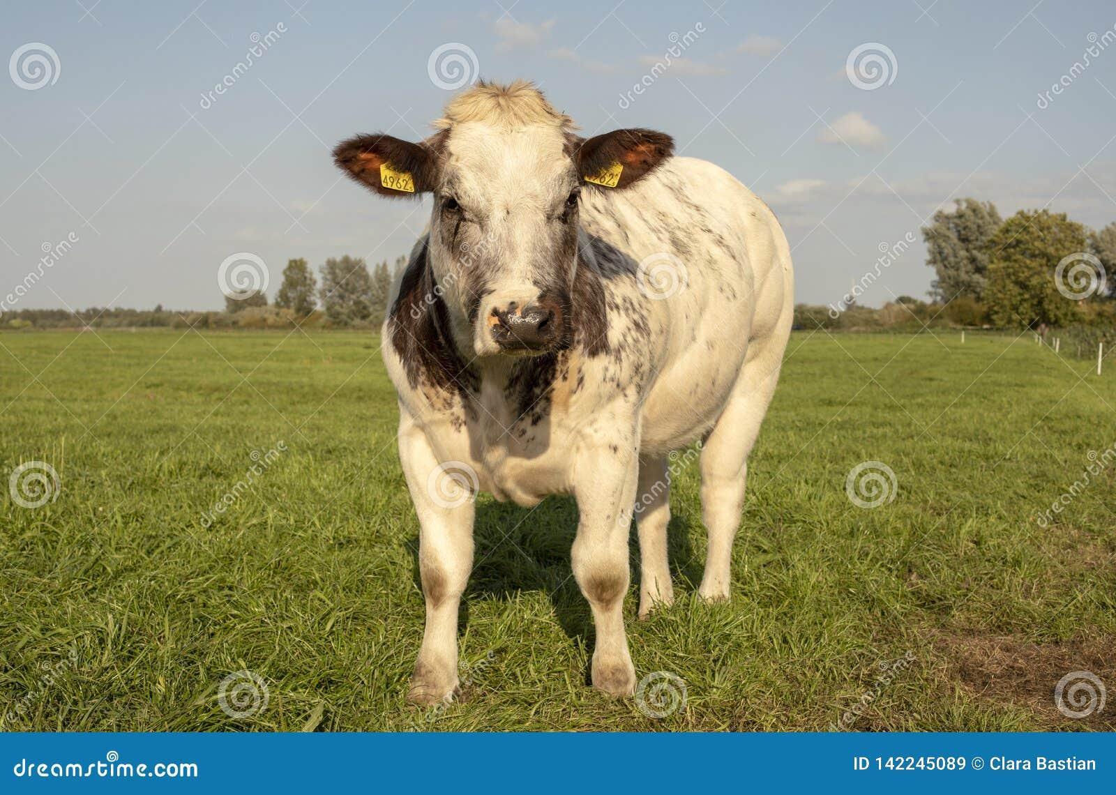 Mottled покрыло, dapples, кормить травой корова говядины с белыми челками и черные уши, стоят в луге под голубым небом