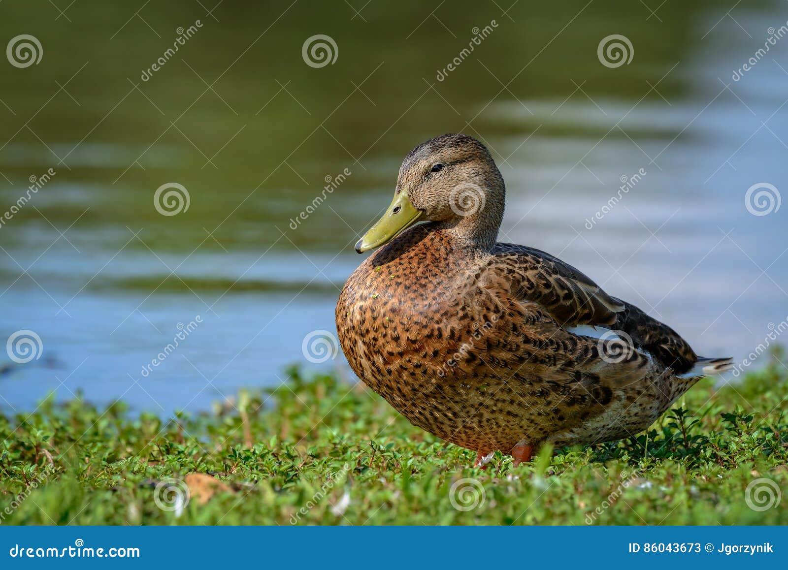Mottled утка