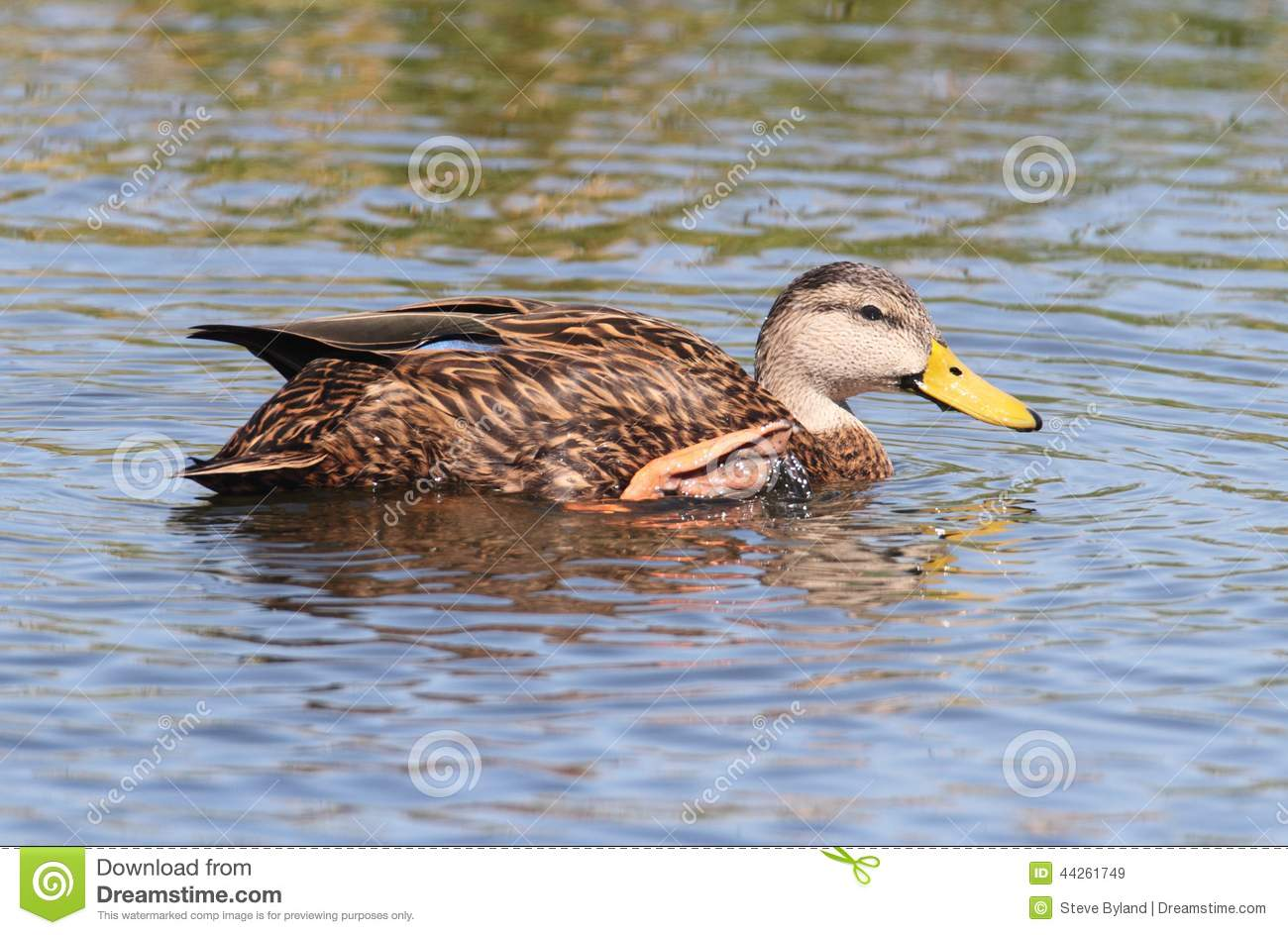 mottled duck in the florida everglades stock photo image 42965318