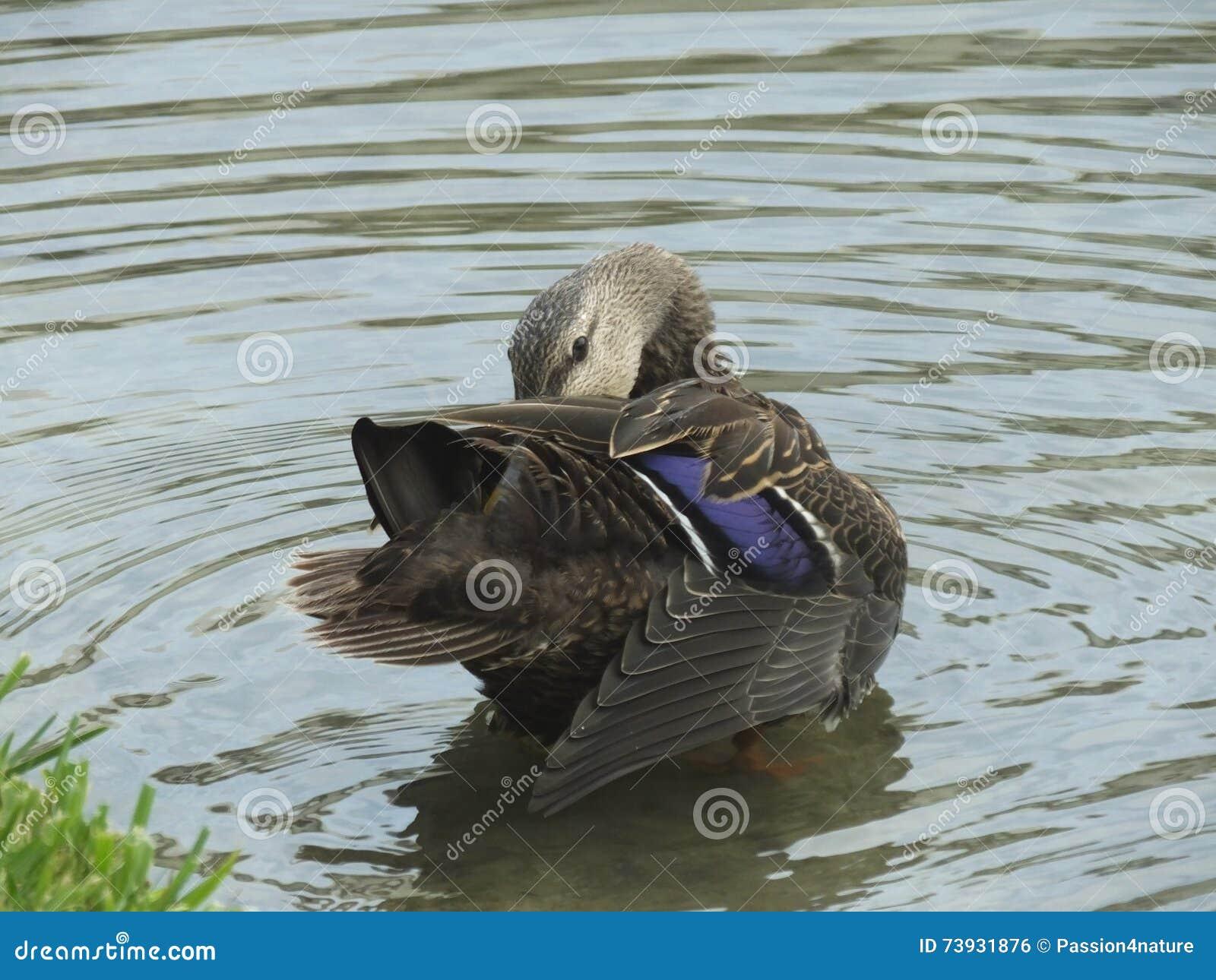Mottled fulvigula утки anas