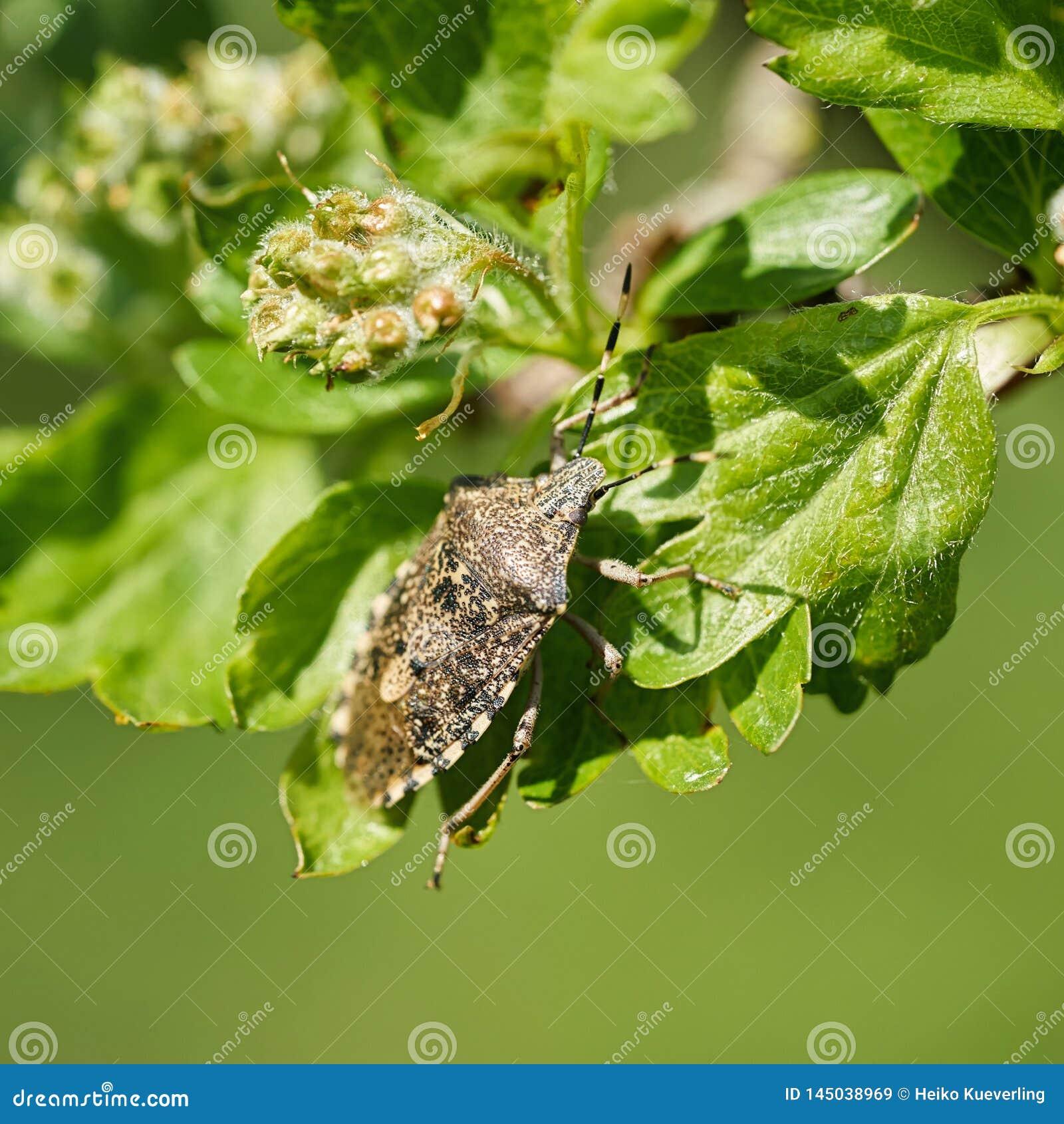Mottled Shieldbug Rhaphigaster nebulosa