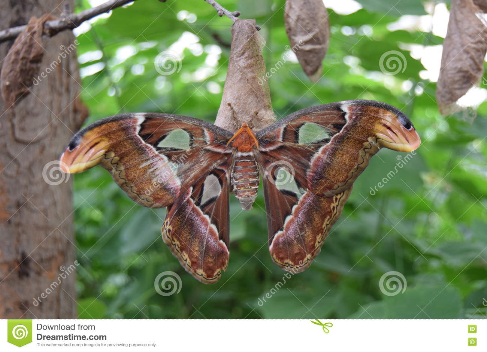 Motyl, atlanta ćma, insekt