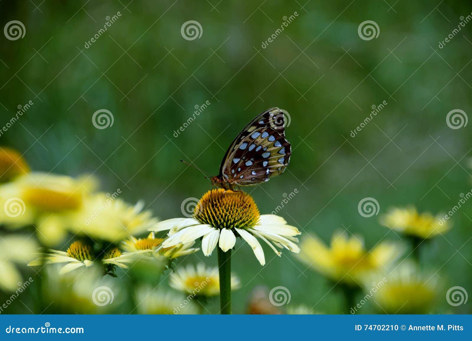 Motyl na białej stokrotce