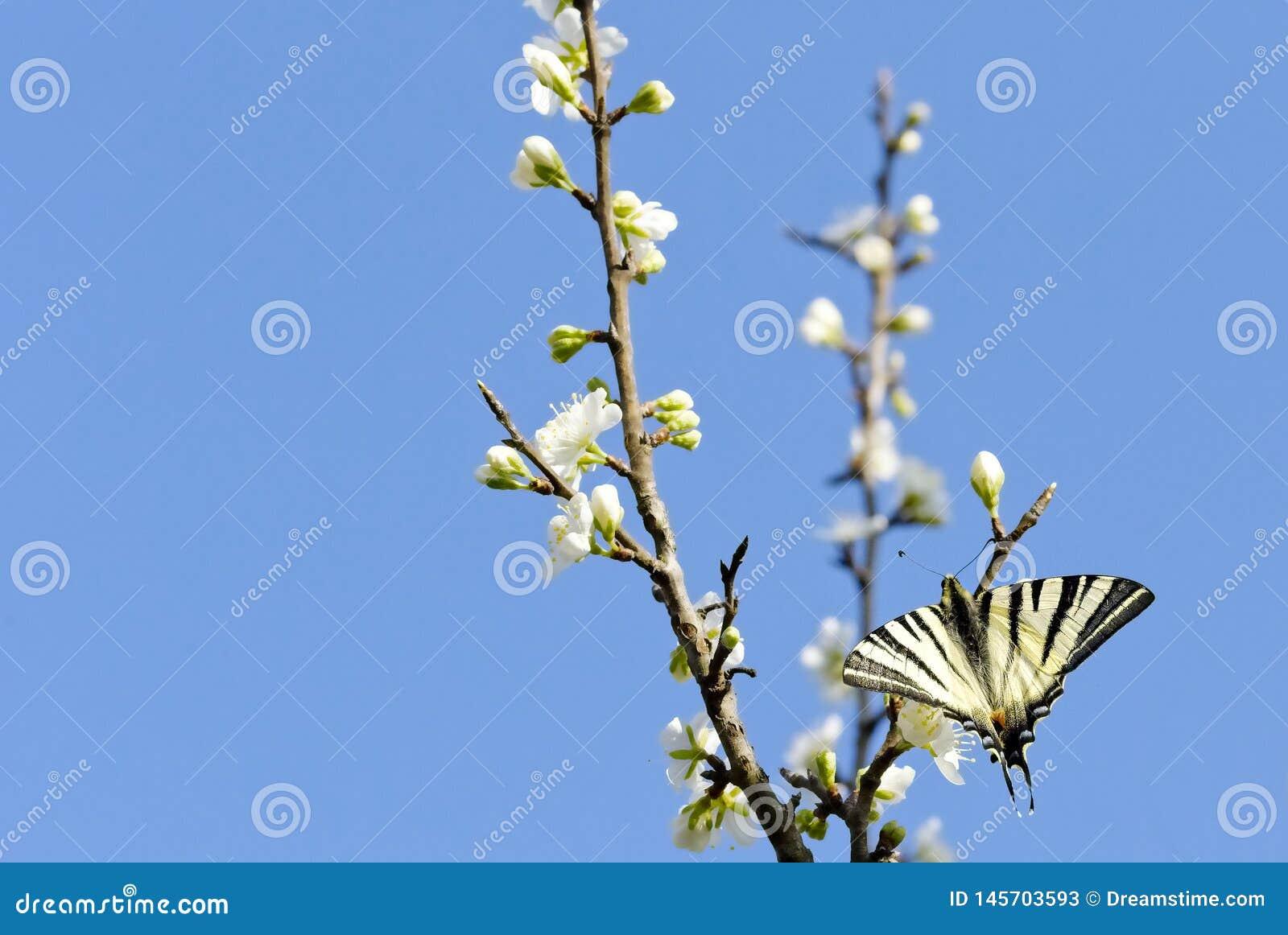 Motyl na kwitnącym drzewie