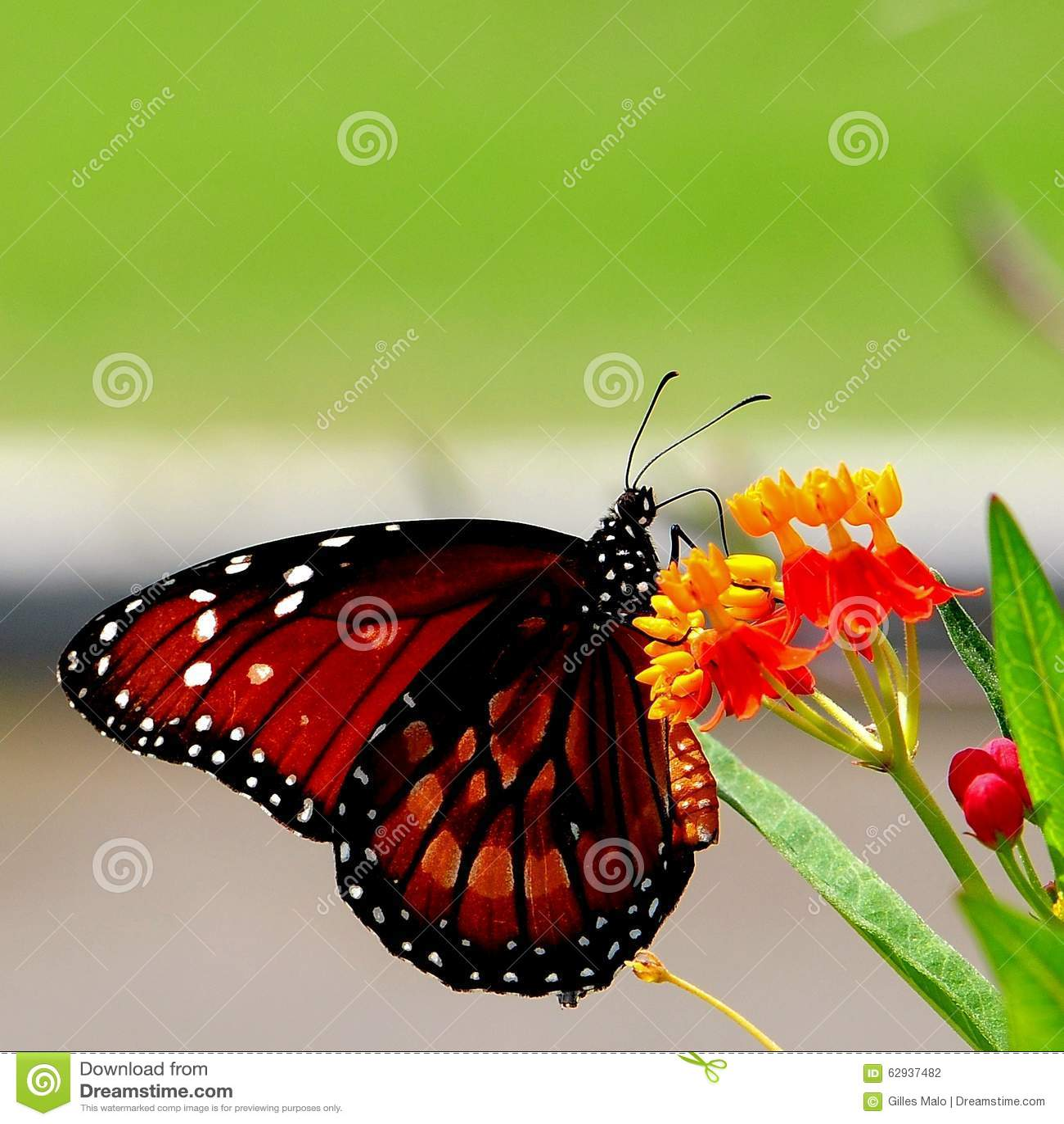 Motyl na szkarłatnych trojeść kwiatach