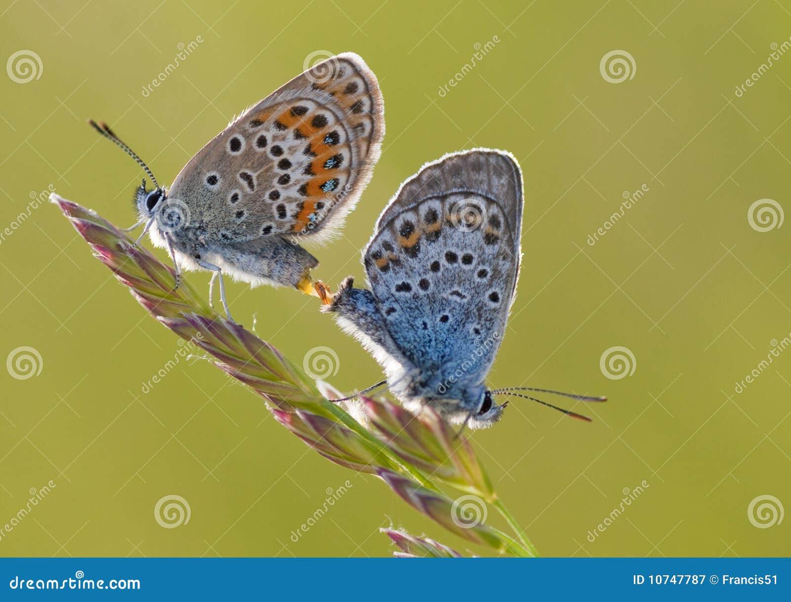 Motyle dwa
