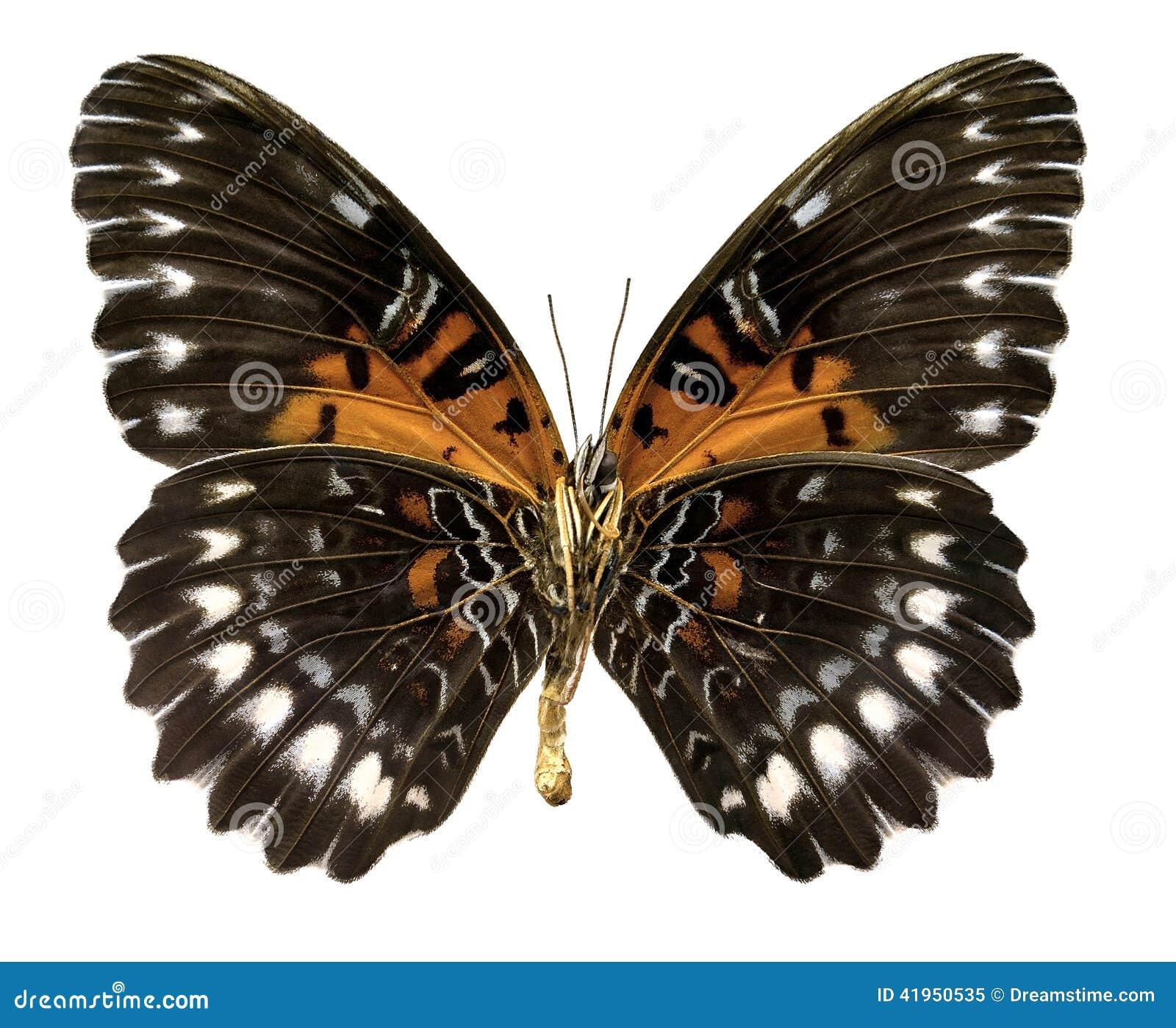 Motyli Cethosia obscura antippe (ścinek ścieżka)