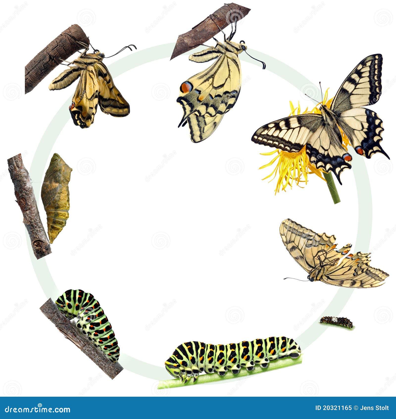 Motyli cyklu życia swallowtail
