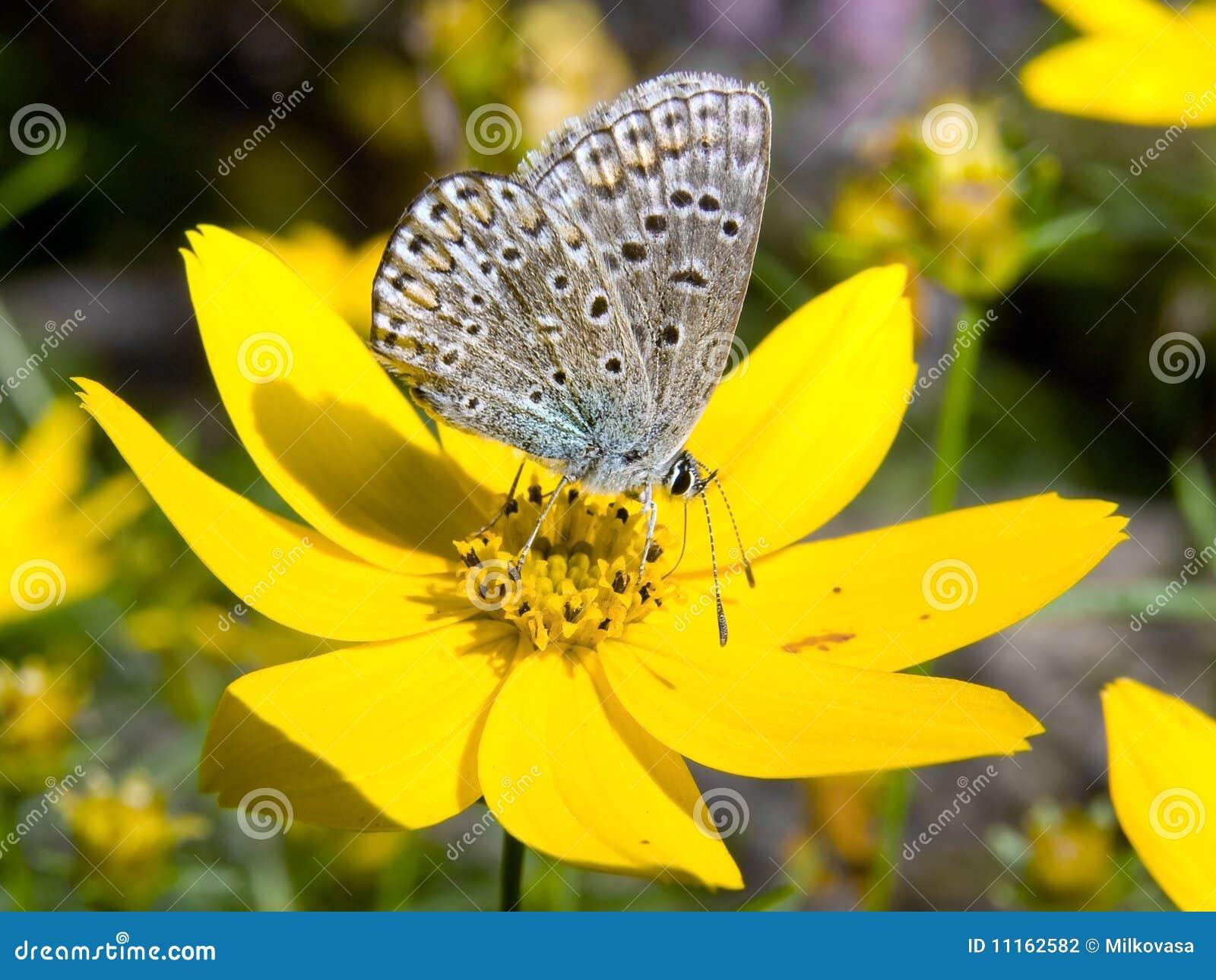 Motyli flowerer