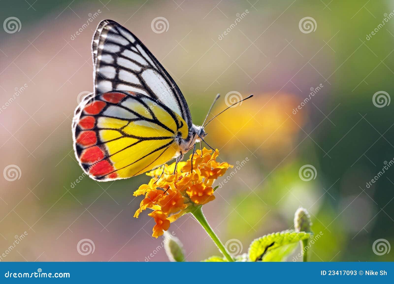 Motyli kwiat