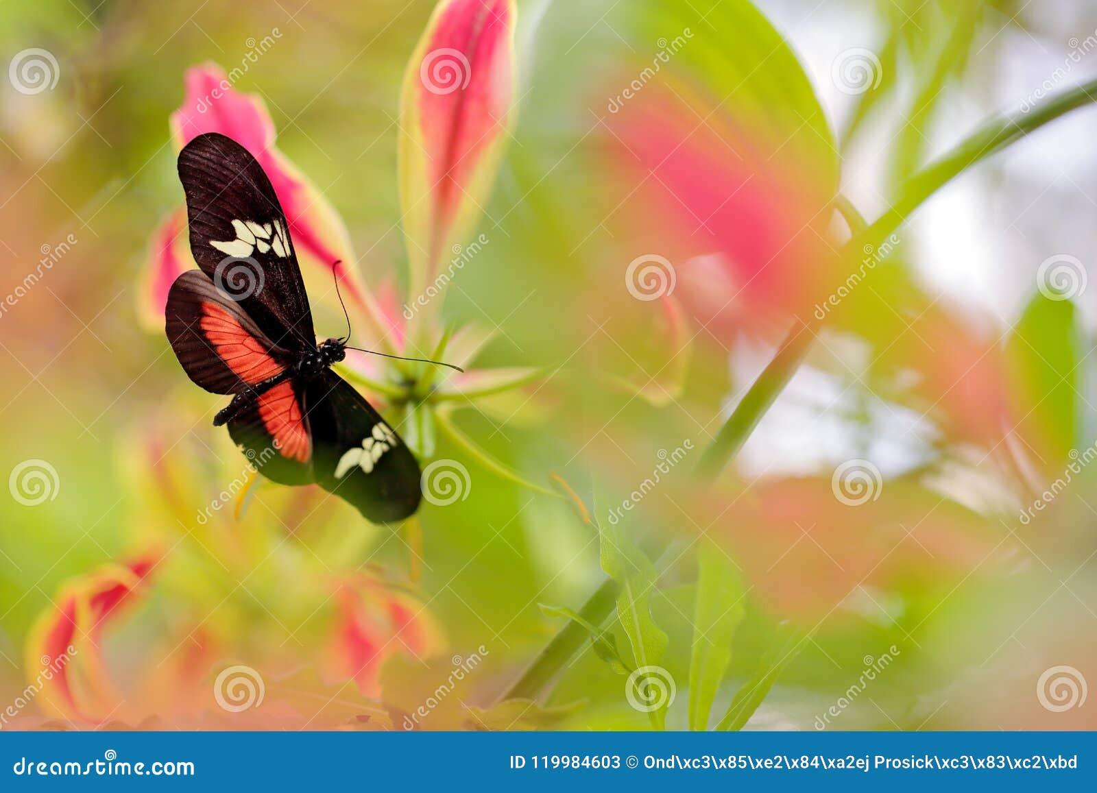 Motyli Montane Longwing, Heliconius clysonymus w natury siedlisku, Ładny insekt od Panama w zielonym lasowym Motylim sitti