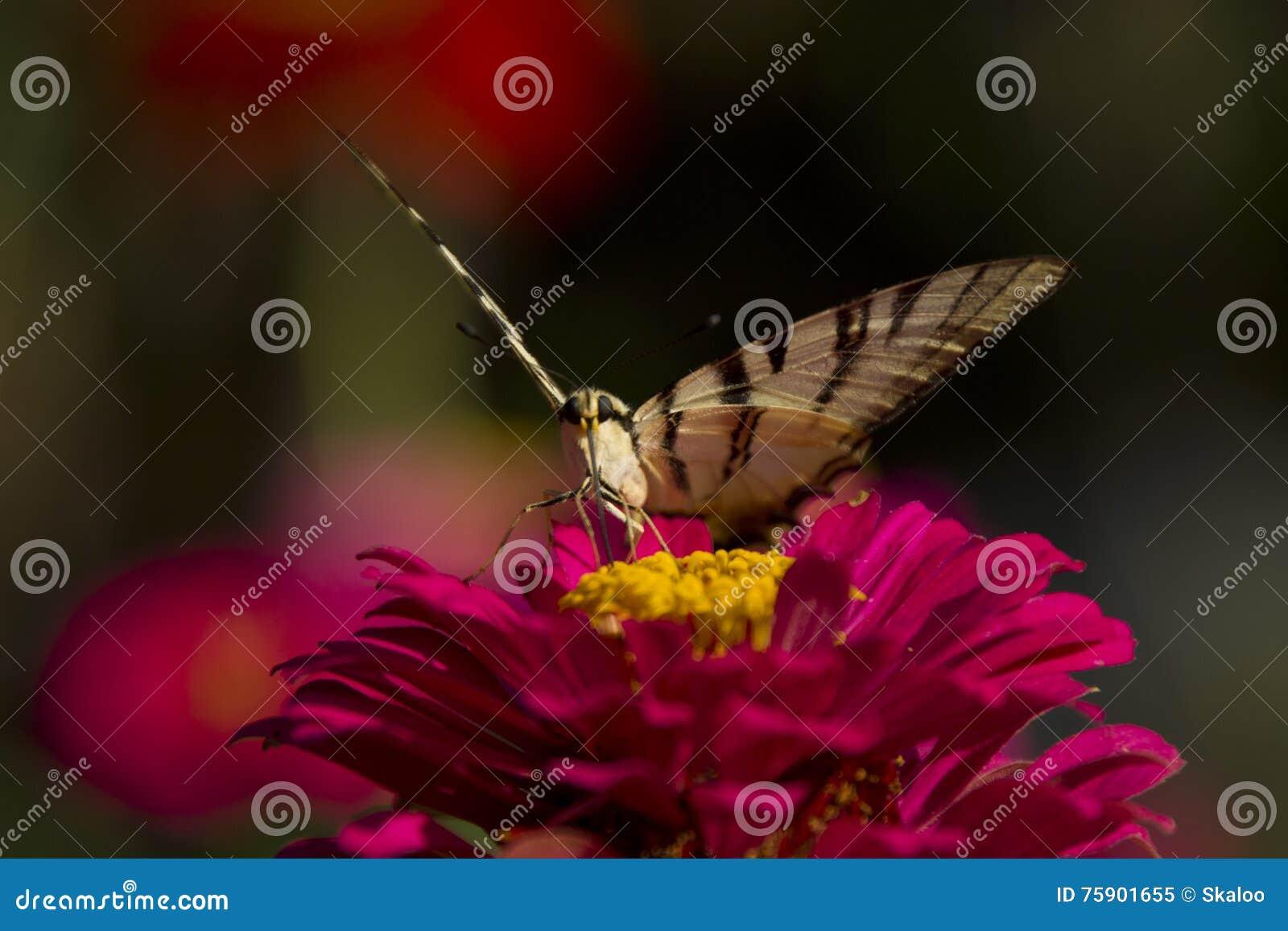 Motyli obsiadanie na czerwonym kwiacie