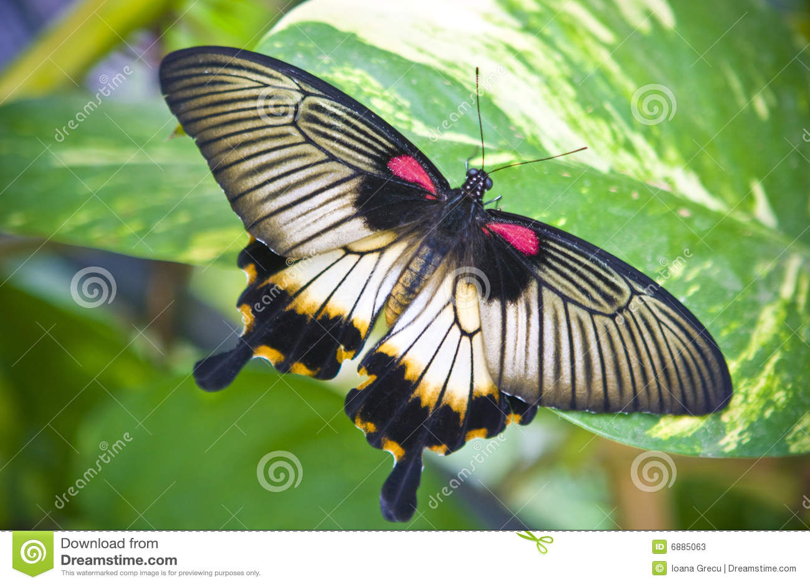 Motyli ogon