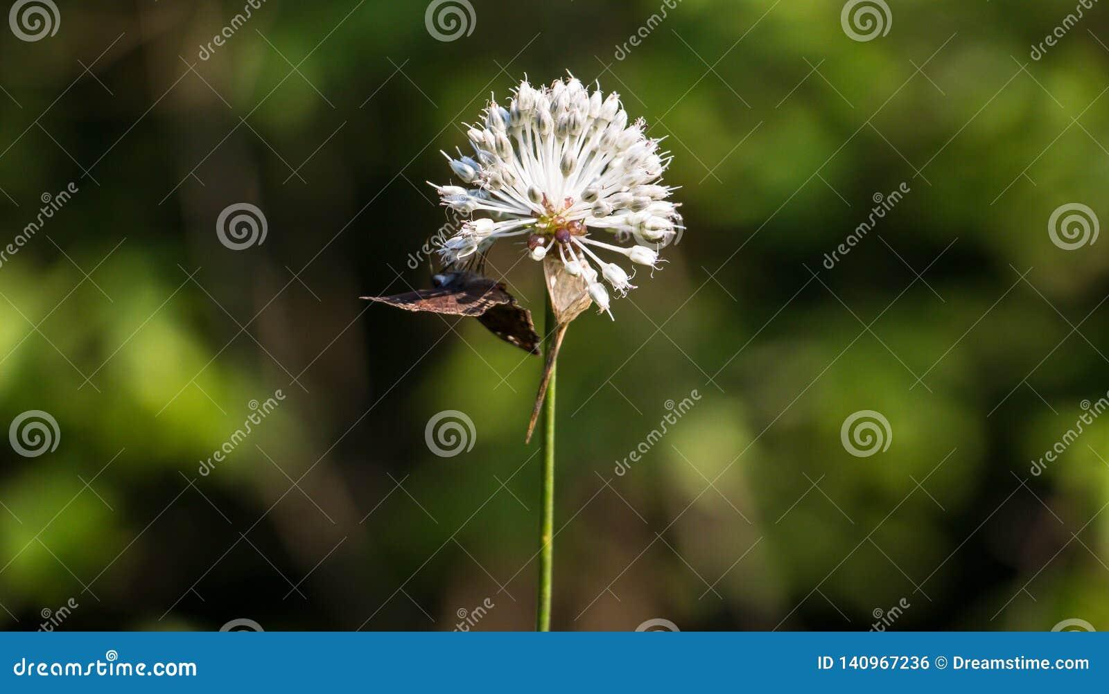 Motyli wiszący za dandelion dalej