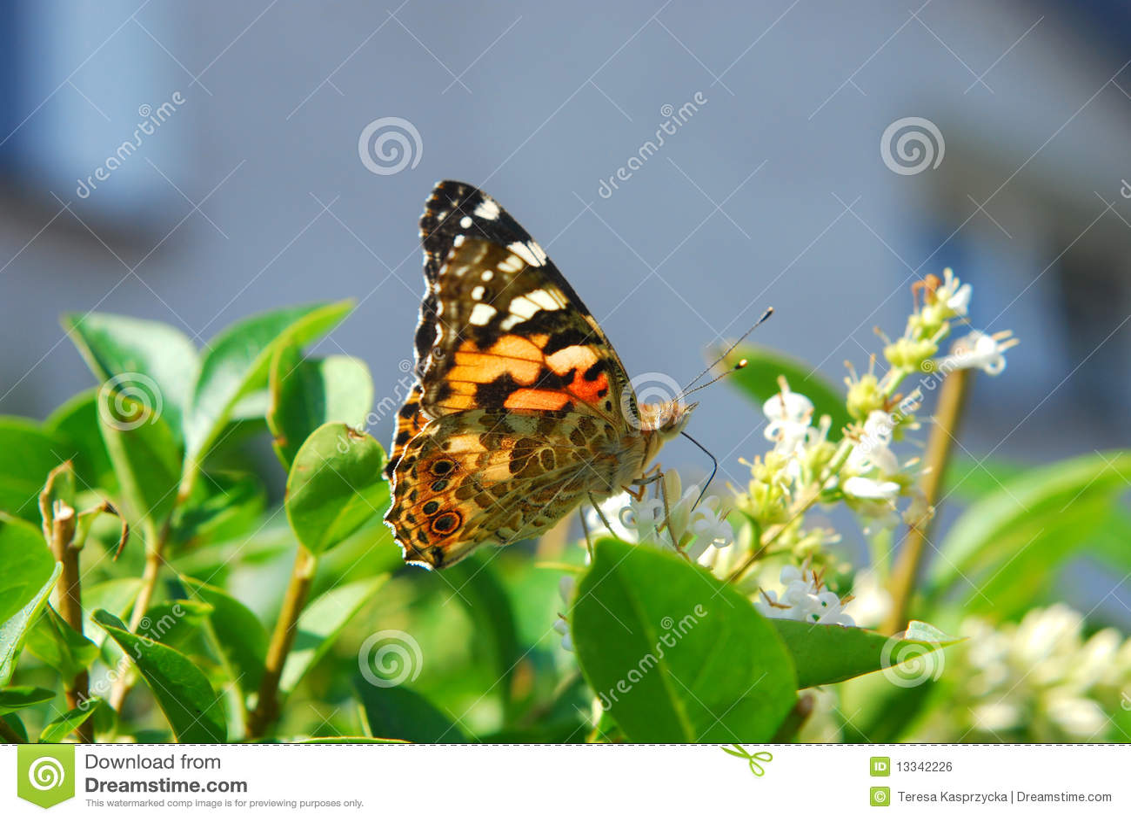 Motylia cardui dama malujący vanessa