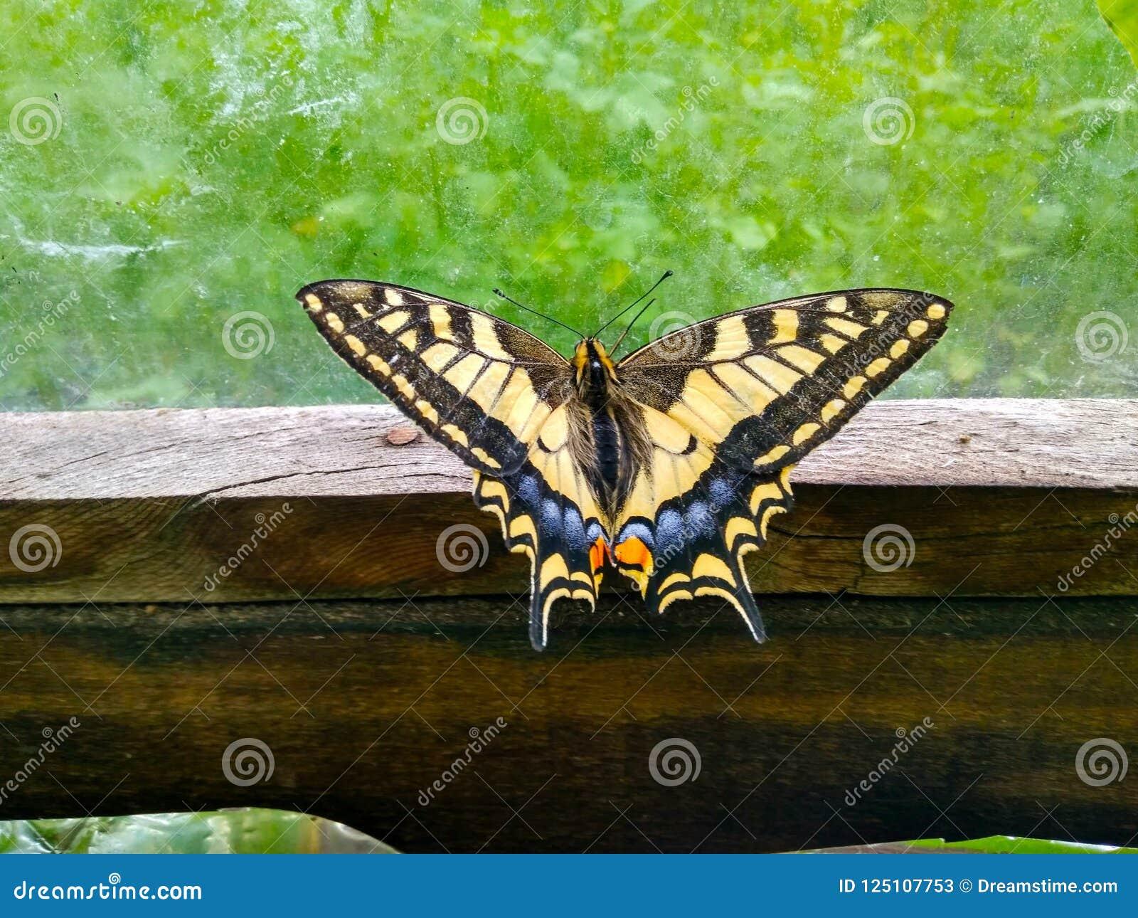 Motylia komarnica daleko od