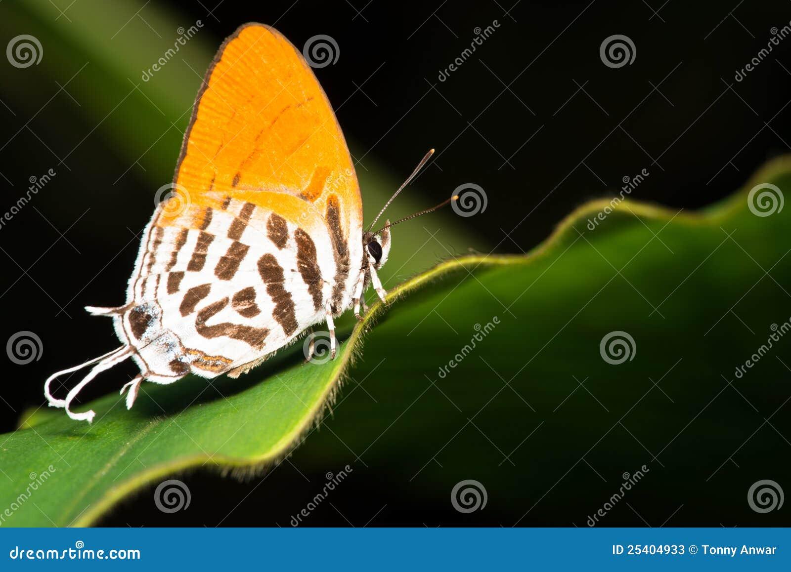 Motylia pomarańcze