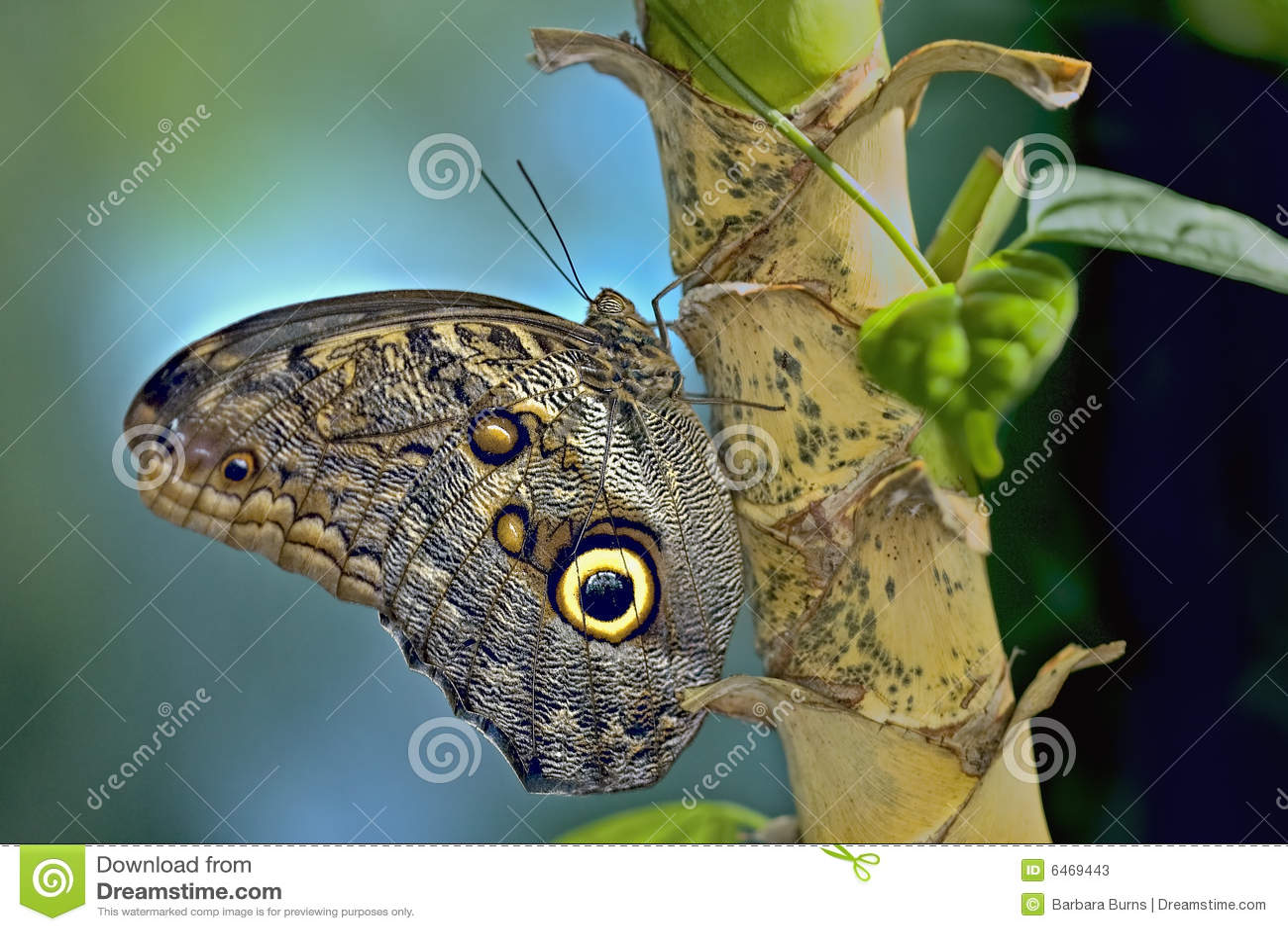 Motylia wielka sowa