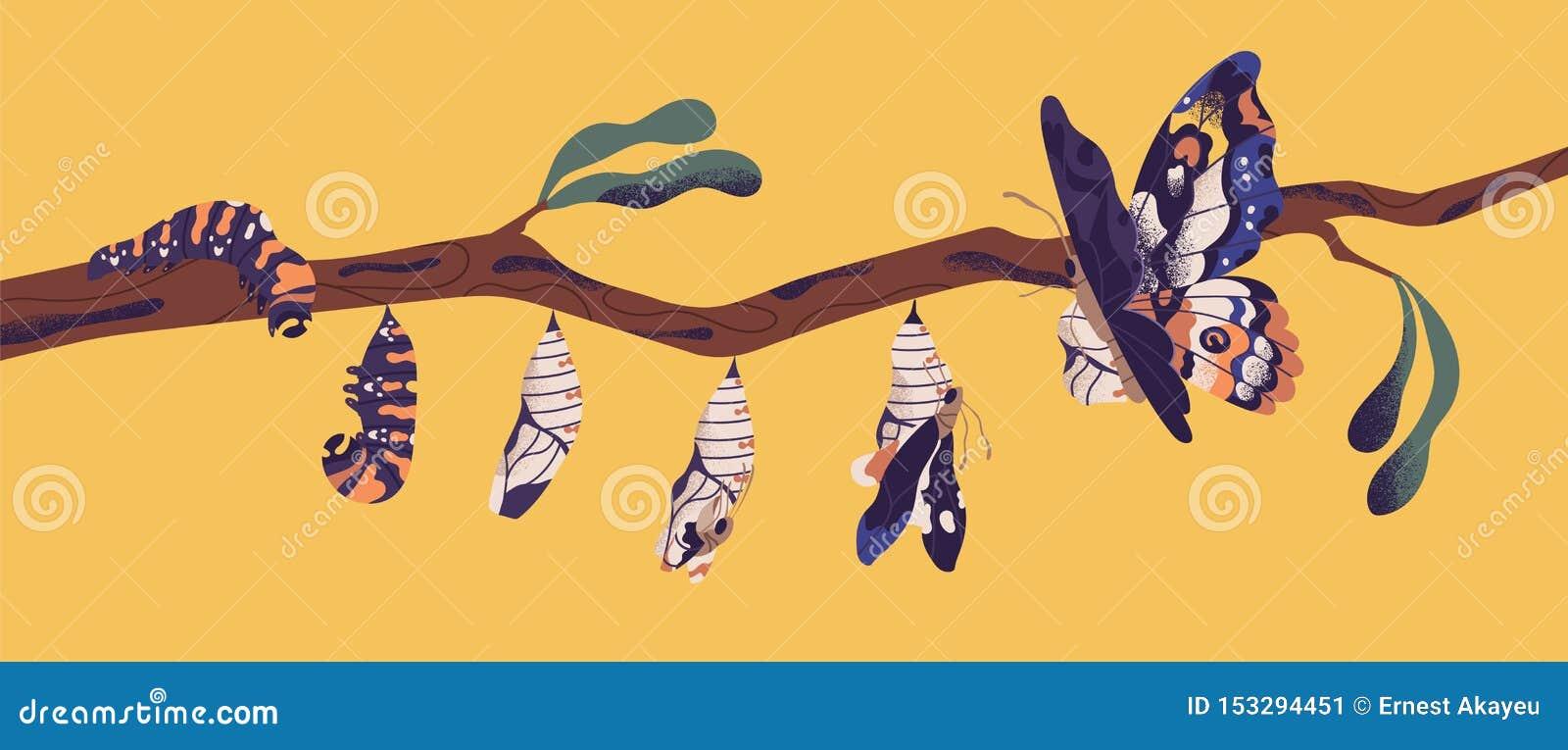 Motylie rozwój sceny - gąsienicowa larwa, pupa, imago Etap życia, metamorfizacji lub transformacji proces,