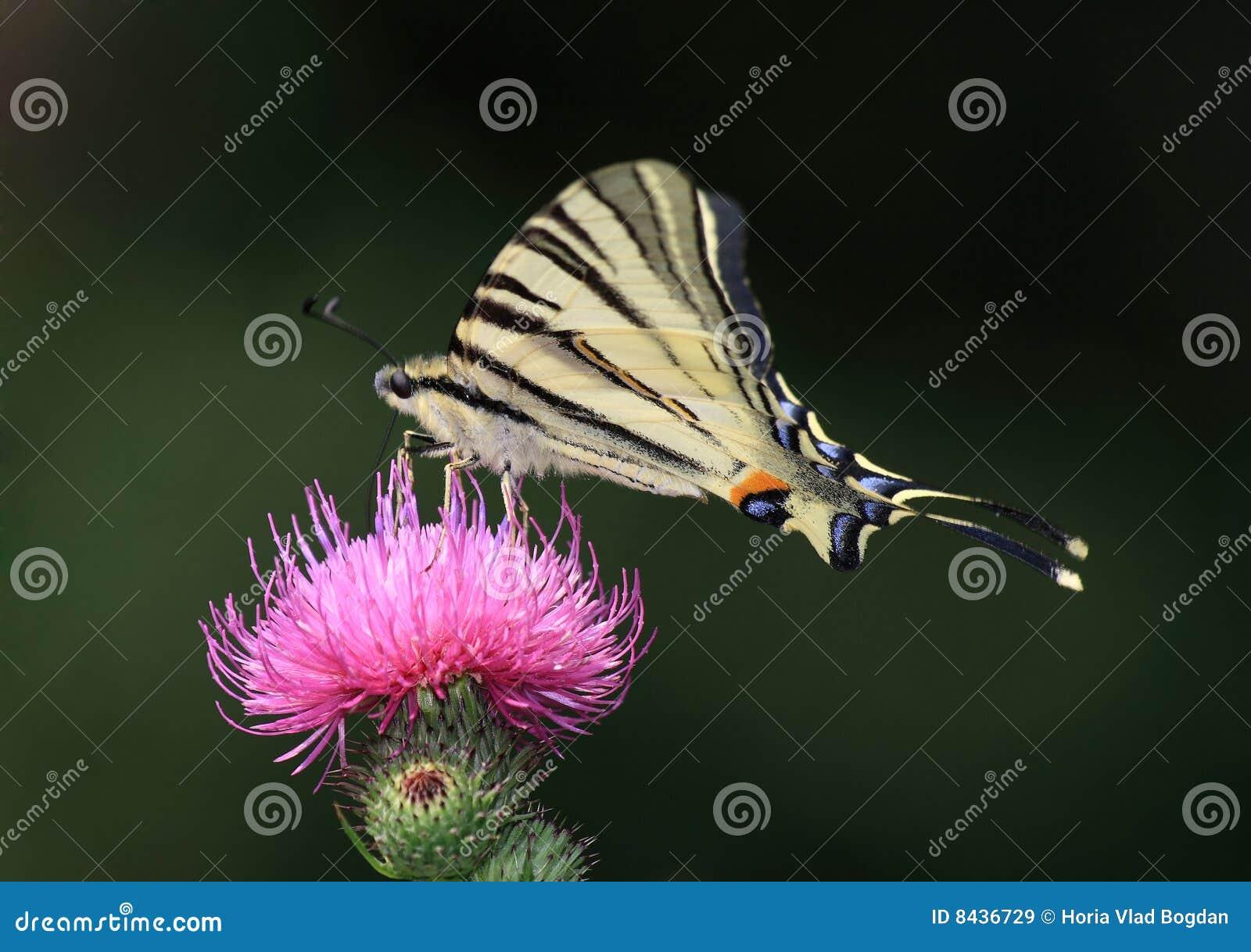 Motyliego iphiclides podaliri rzadki swallowtail