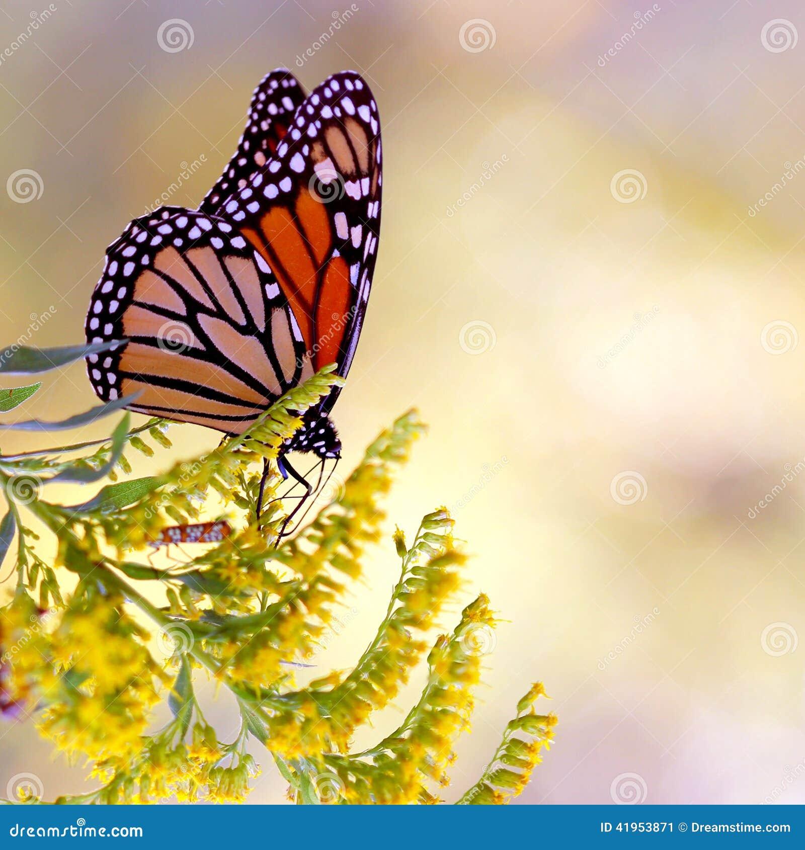 Motyliego monarchów żółty kwiat