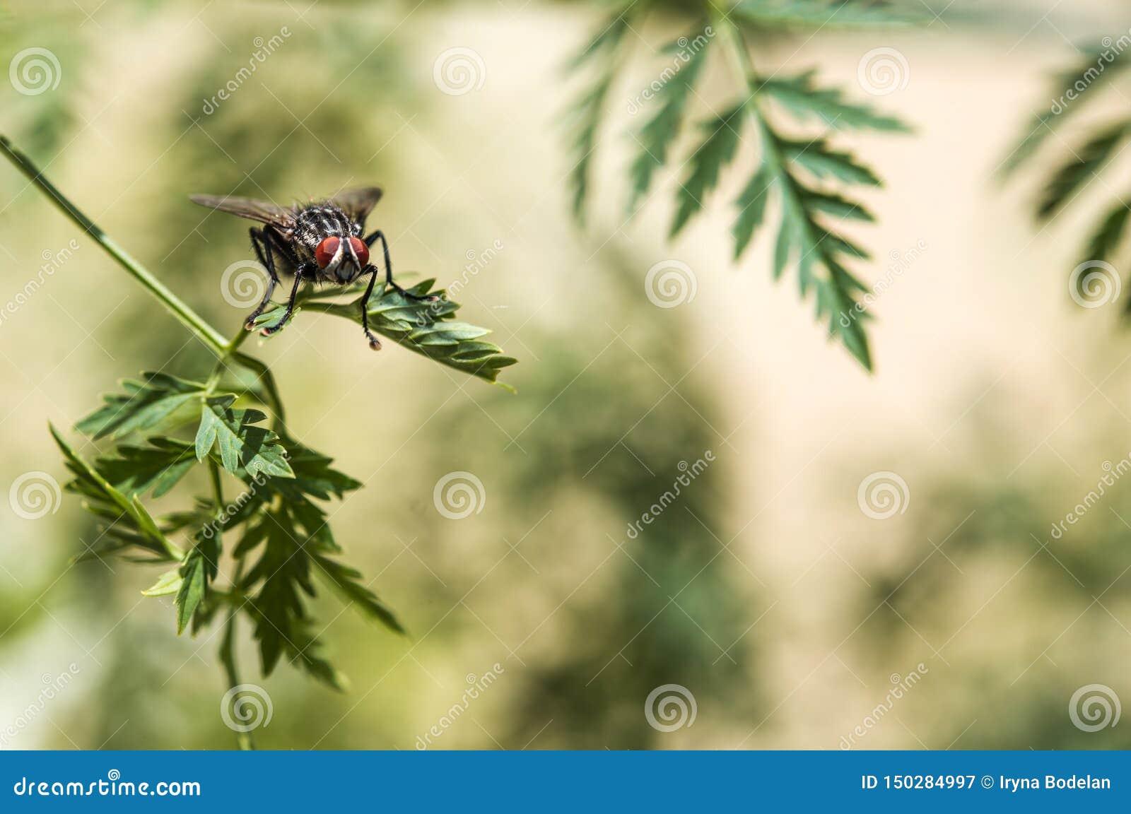 Mouche avec le plan rapproché rouge énorme de yeux sur une feuille