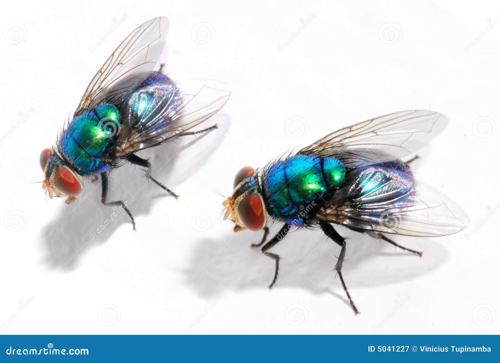 mouche bleue image stock image du biologie 5041227