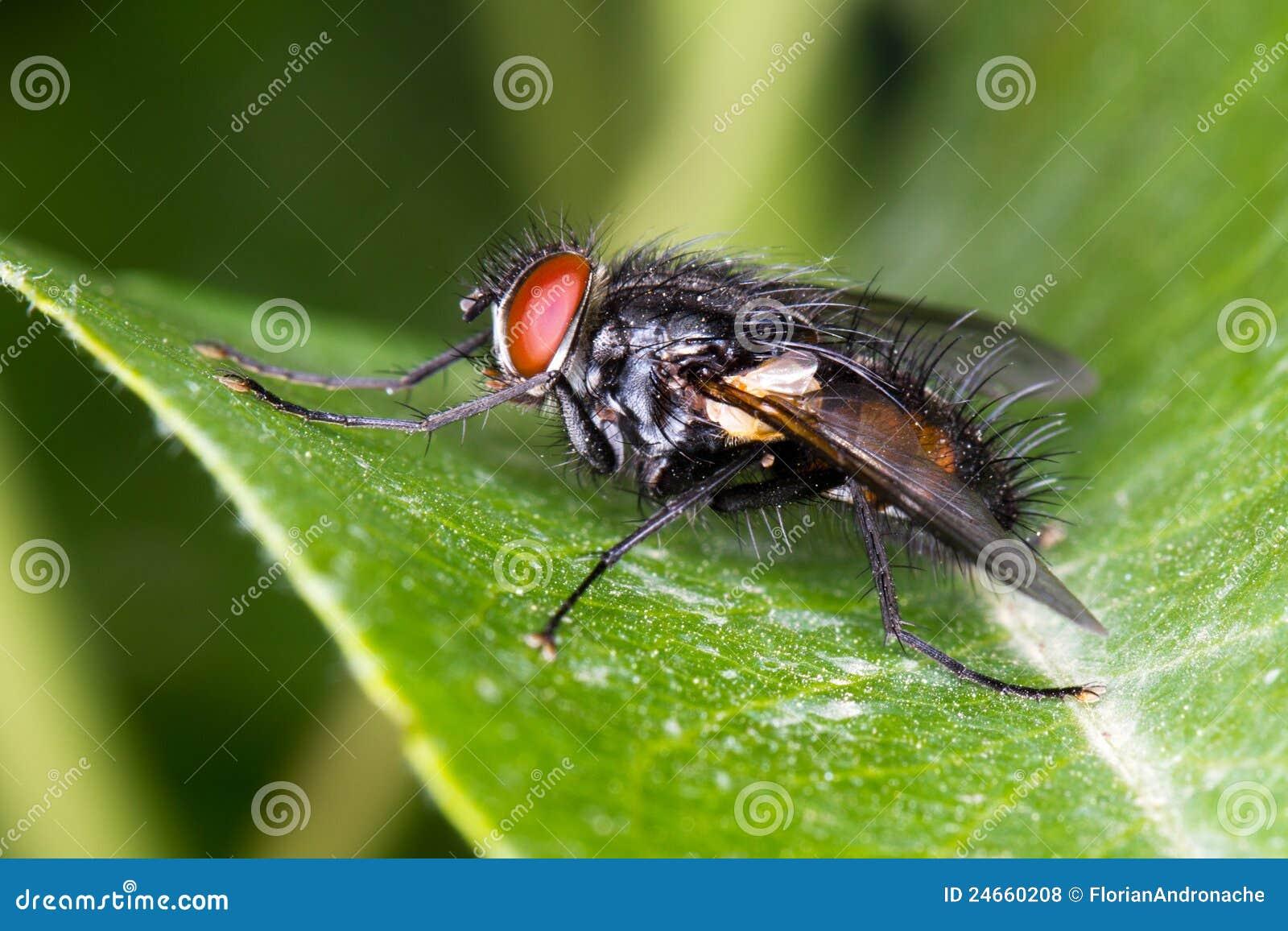 mouche commune de maison musca domestica sur une lame verte photos libres de droits image. Black Bedroom Furniture Sets. Home Design Ideas