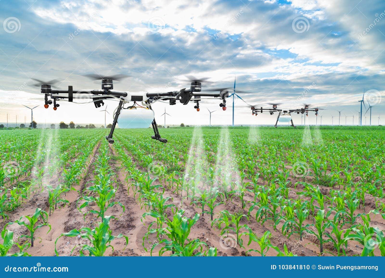 Mouche de bourdon d agriculture à l engrais pulvérisé sur les champs de maïs