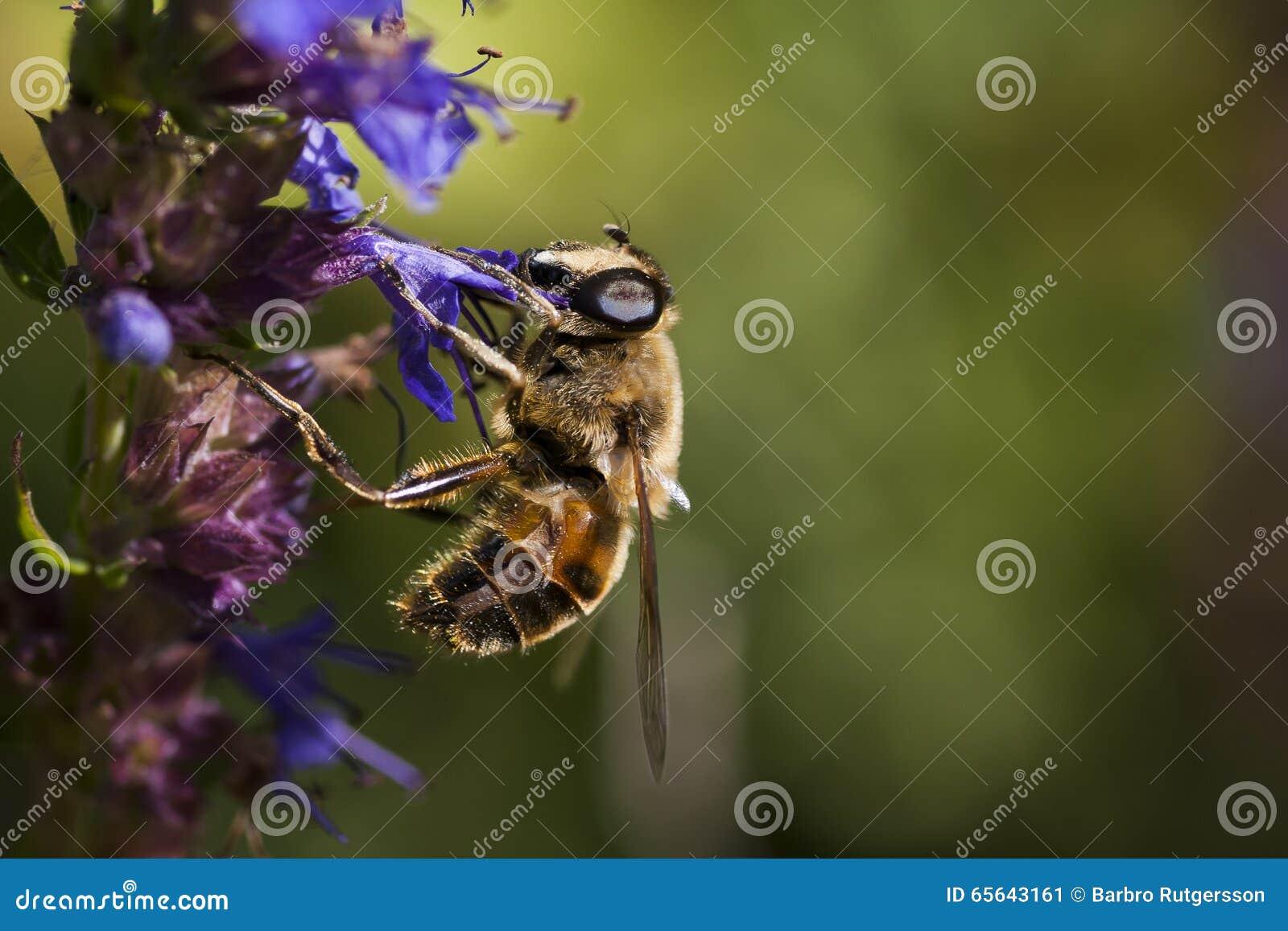 Mouche de fleur
