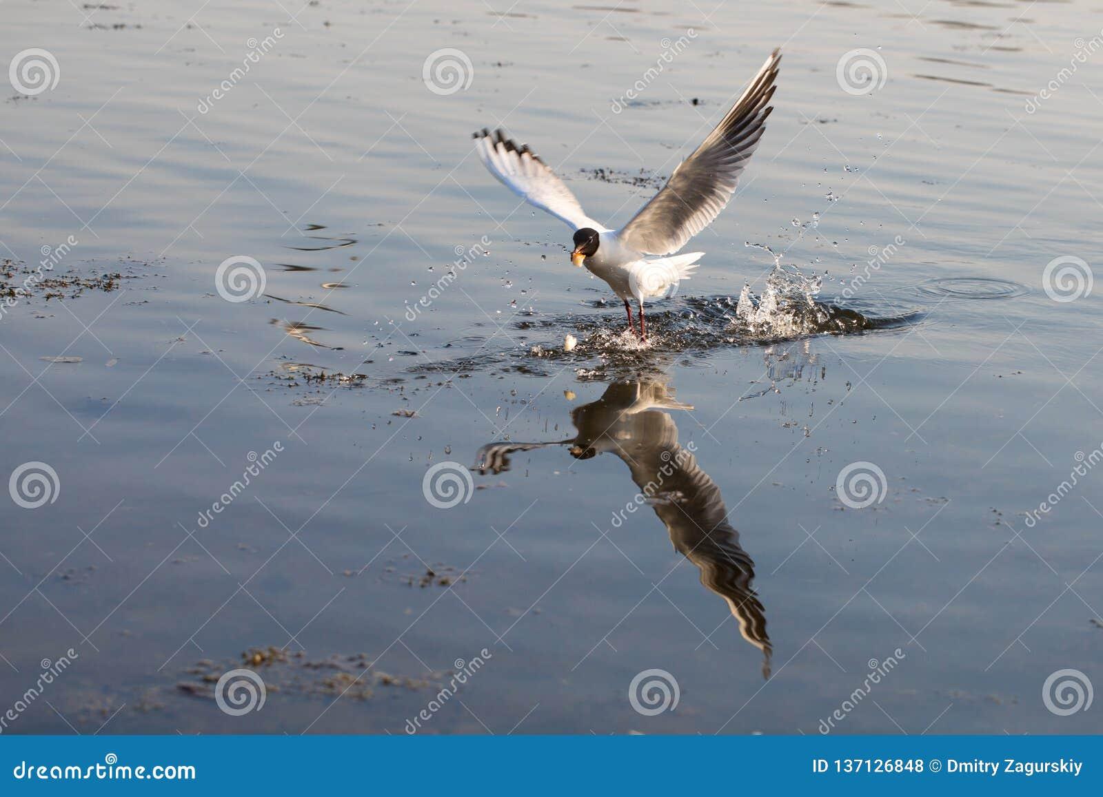 Mouche de mouette au-dessus de l eau