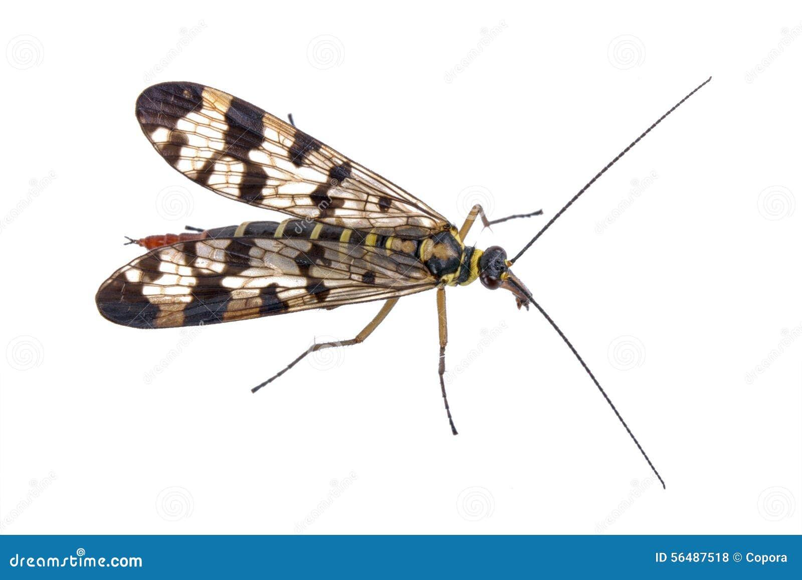 Mouche de scorpion sur le fond blanc