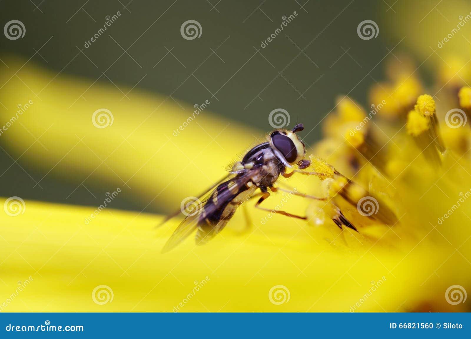 Mouche de Syrphid sur la fleur