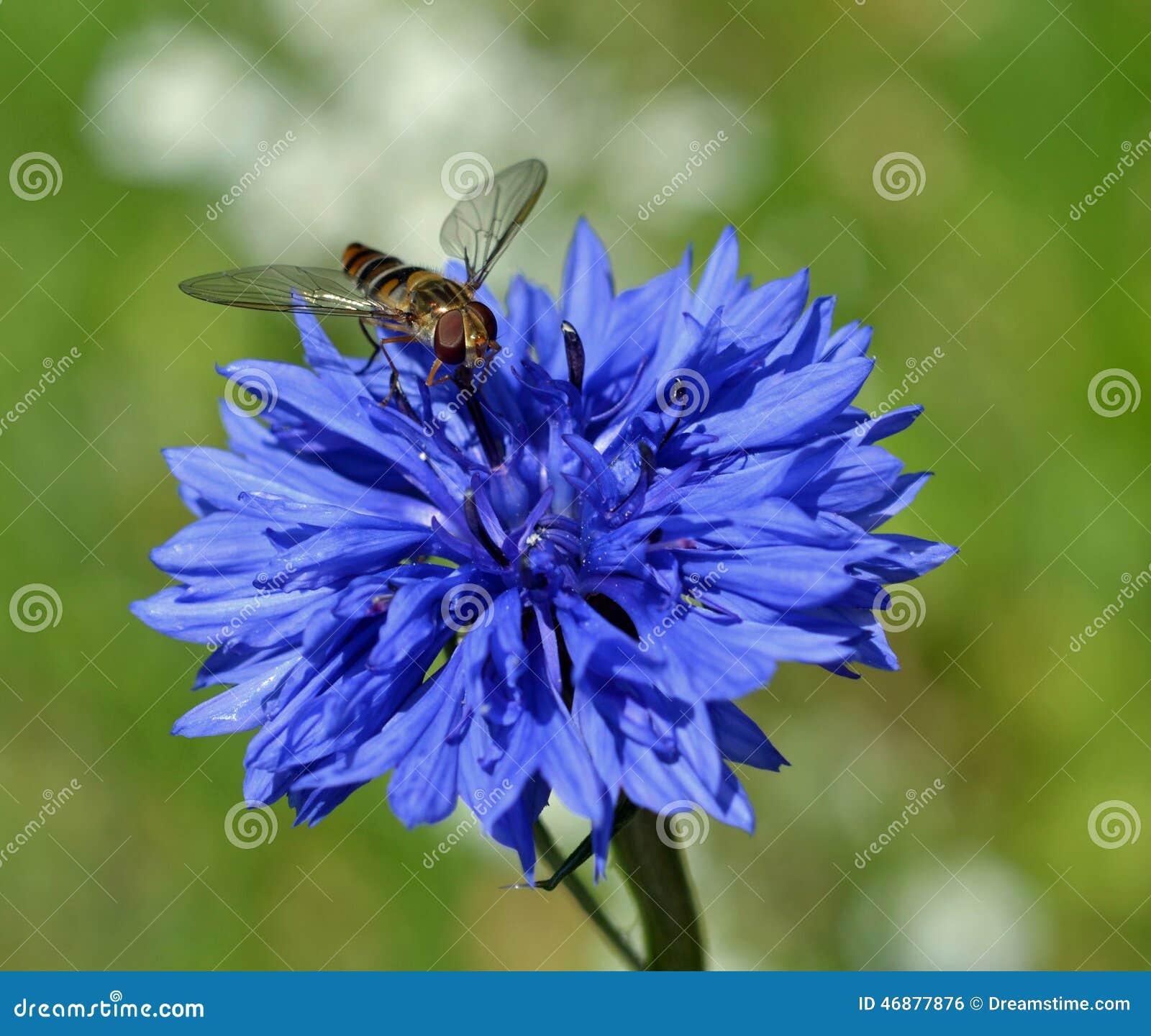 Mouche De Vol Plane Sur Une Fleur De Mais Photo Stock Image Du