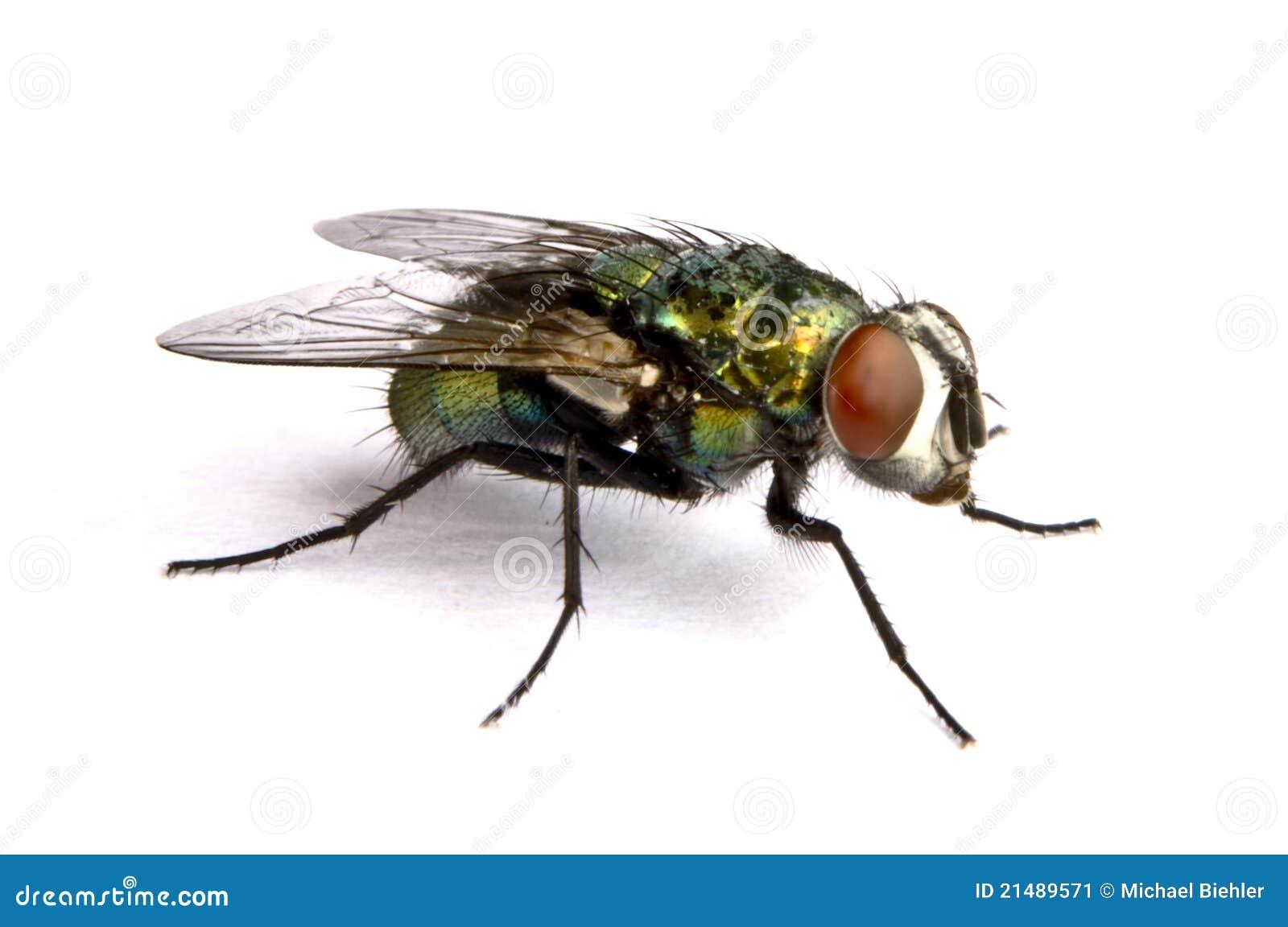 Mouche iridescente de maison dans la fin image stock - Eliminer les mouches dans la maison ...