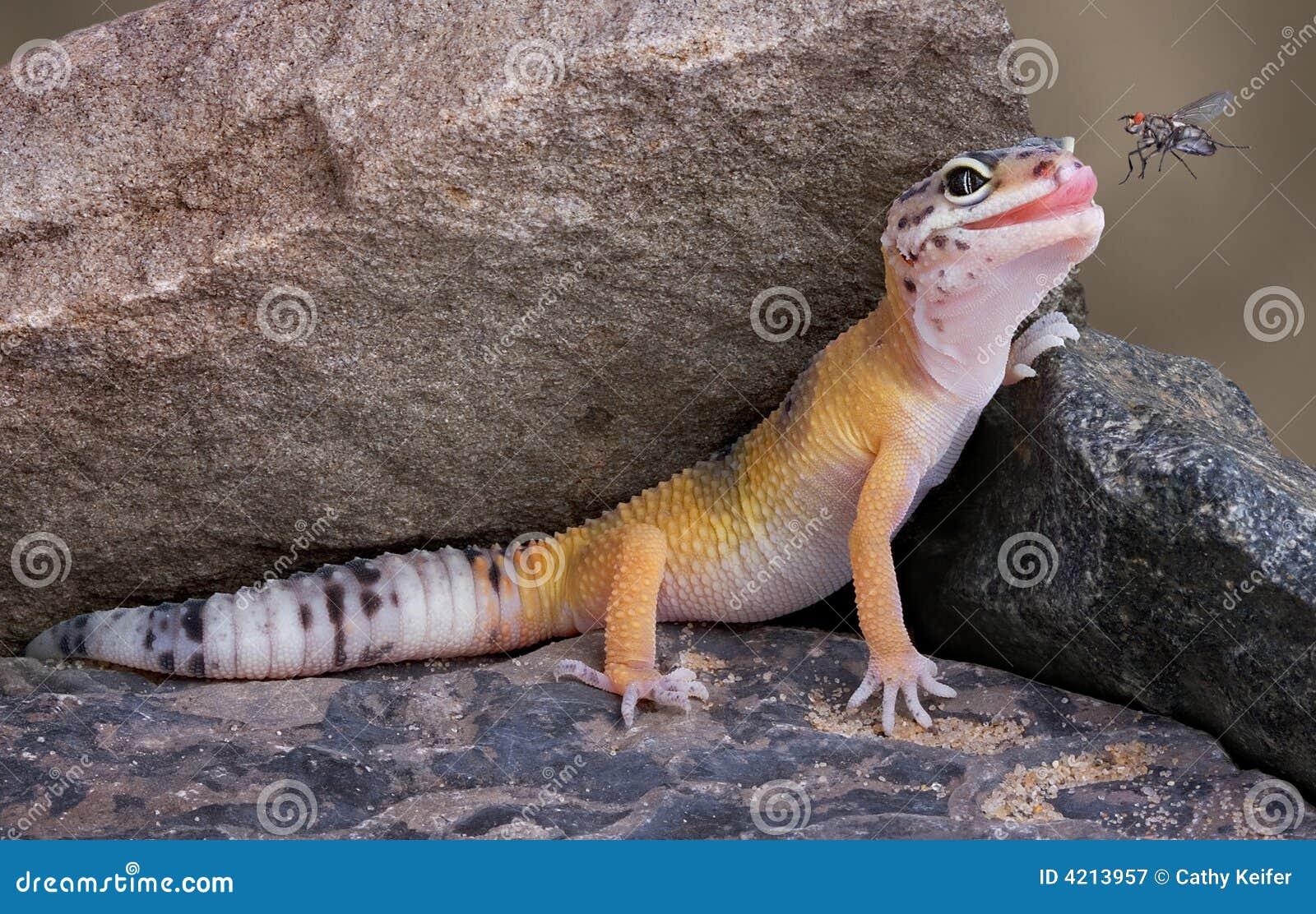 Mouche observante de Gecko