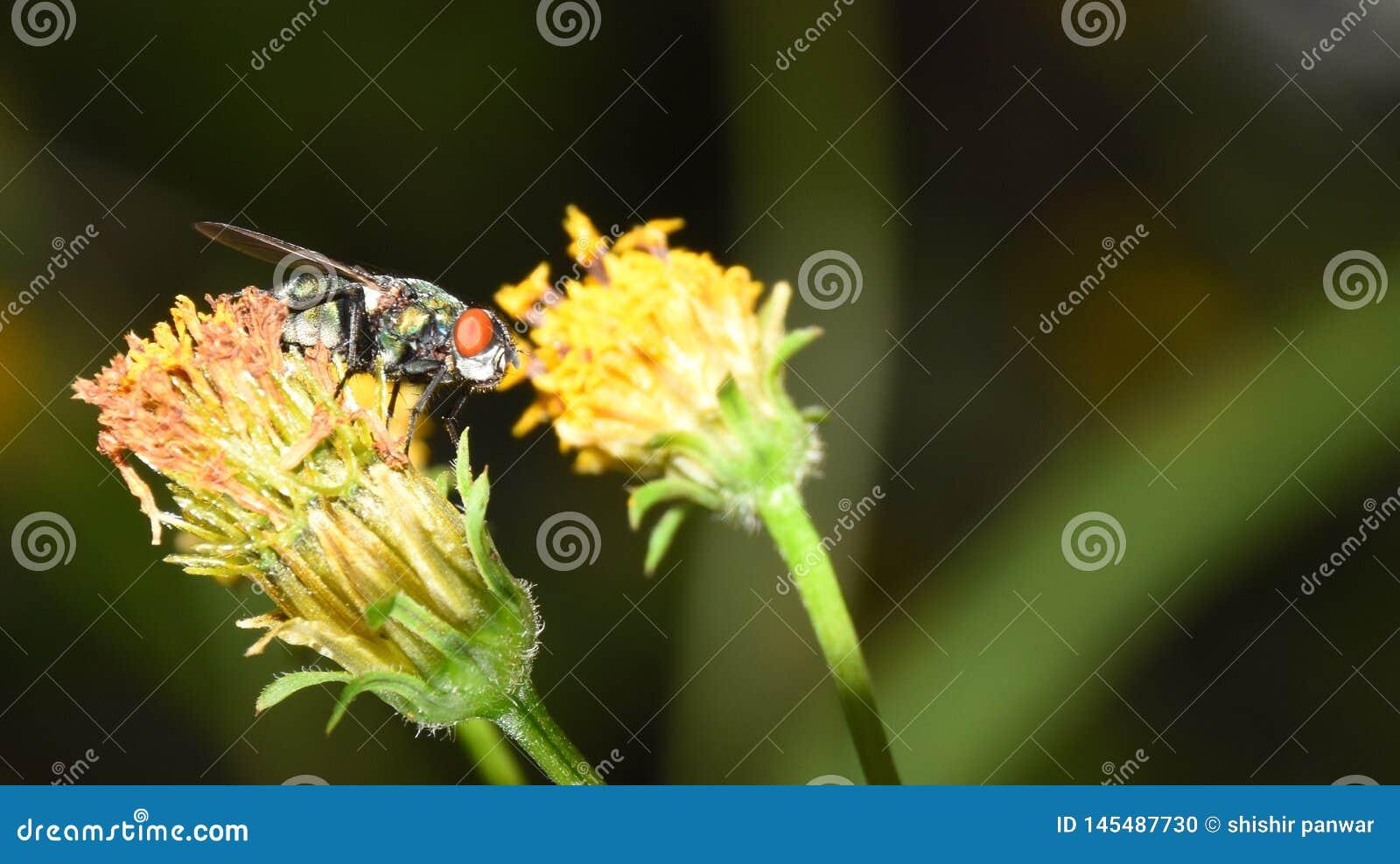 Mouche sur la fleur