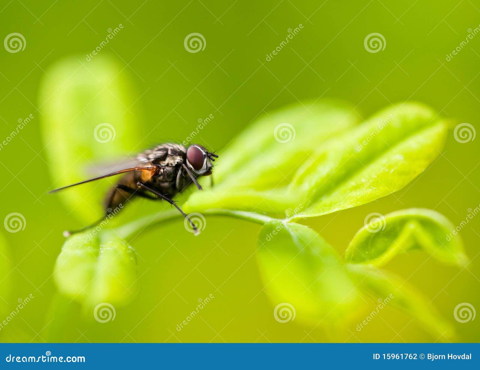 Mouche sur une lame
