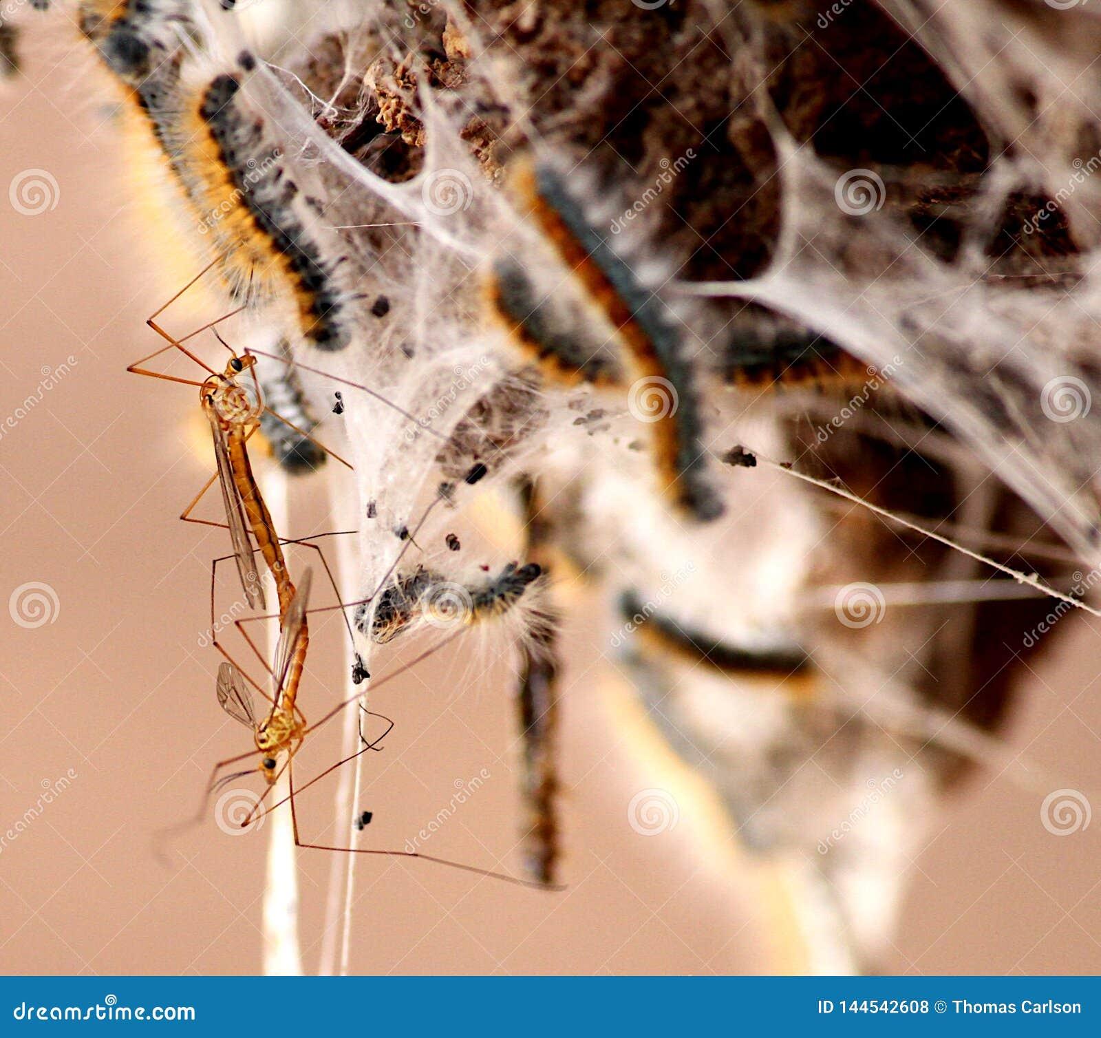 Mouches de grue sur le nid de chenille de tente