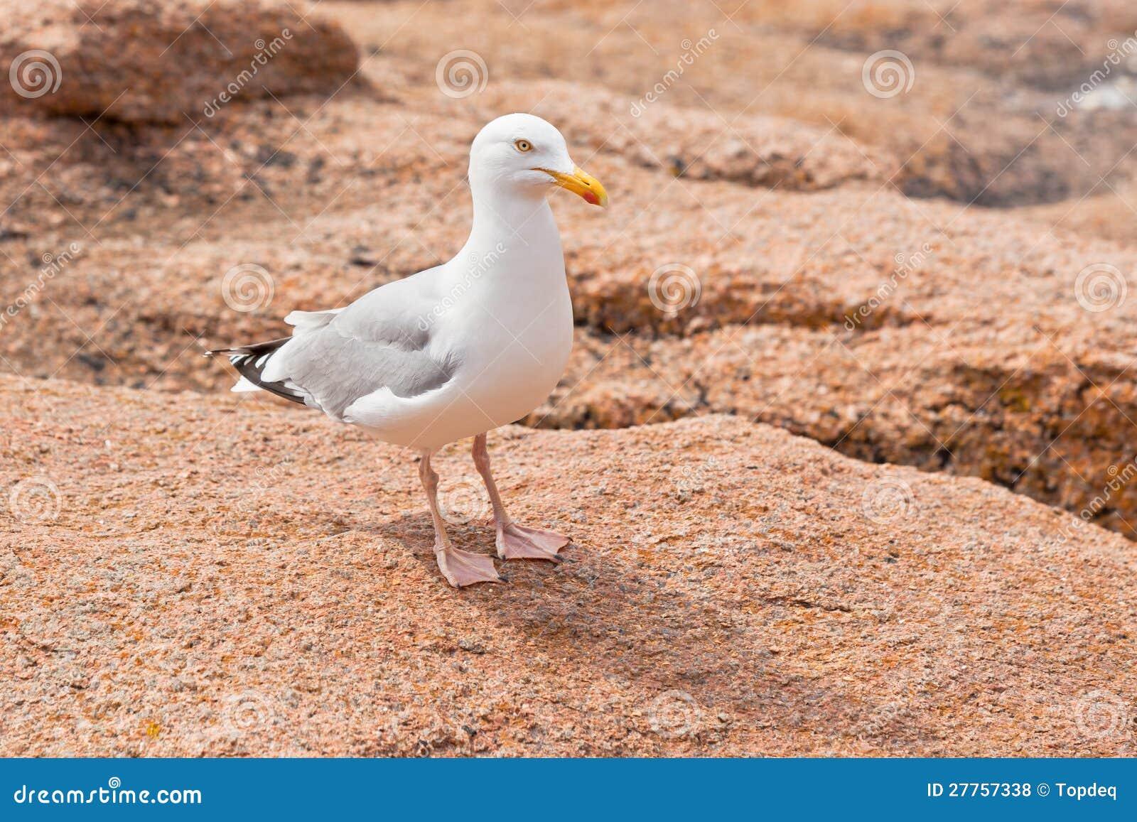 Mouette blanche sur la grande pierre de granit